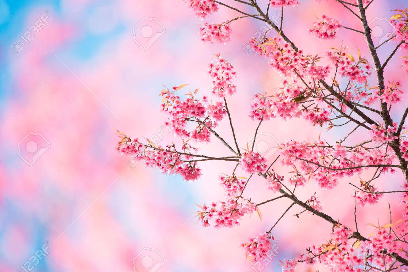 Sakura Blossom Background Yeterwpartco