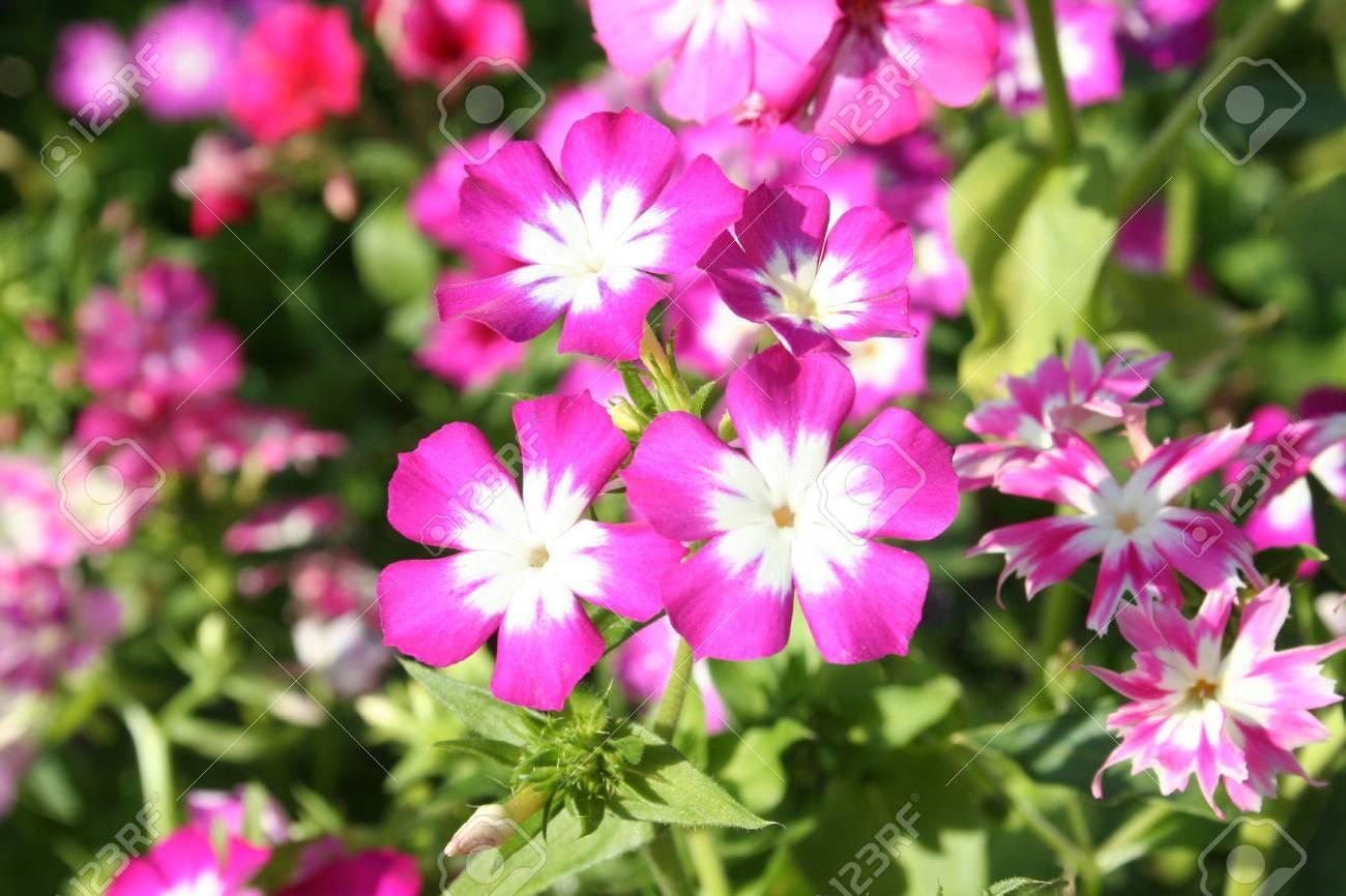 verveine fleur rose banque d'images et photos libres de droits