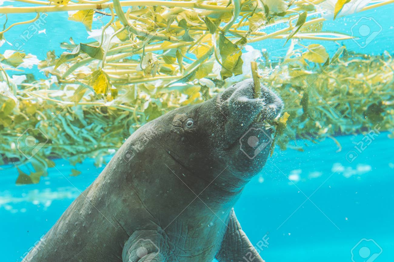 manatee enjoy eating under water stock photo picture and royalty