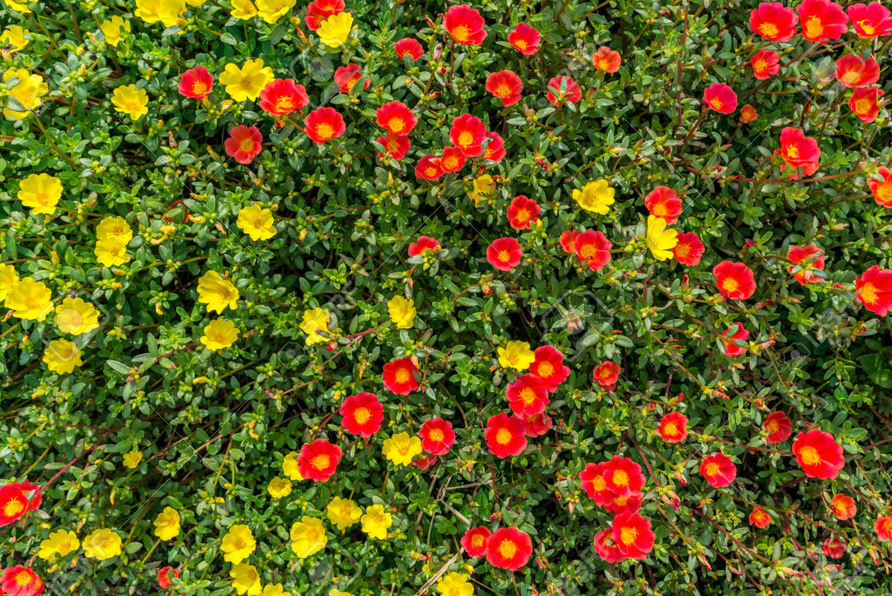 Top View Small Red And Yellow Flowers In The Field Daylight Stock