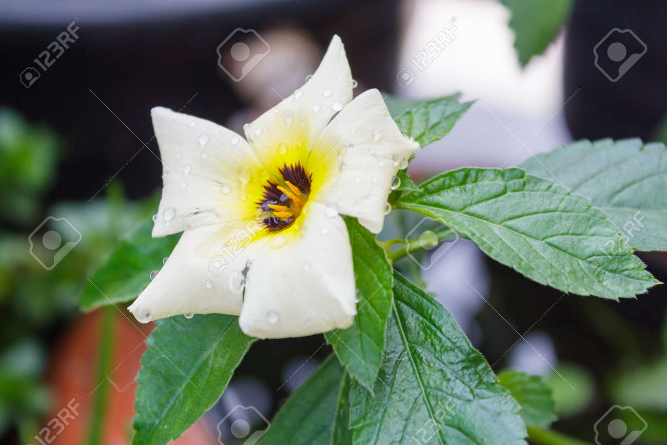 White Yellow Flower In Gardensage Flower Stock Photo Picture And