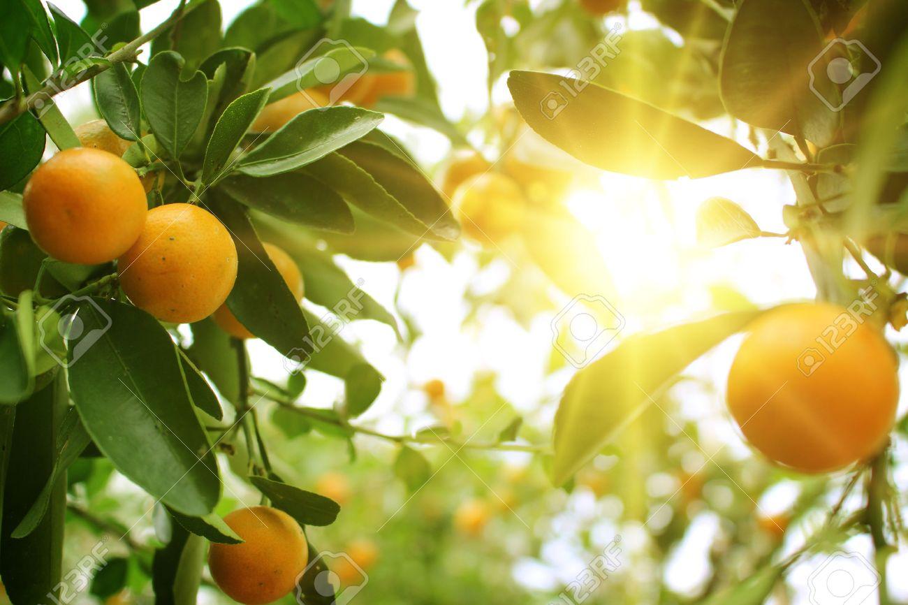 Orange tree - 36058909