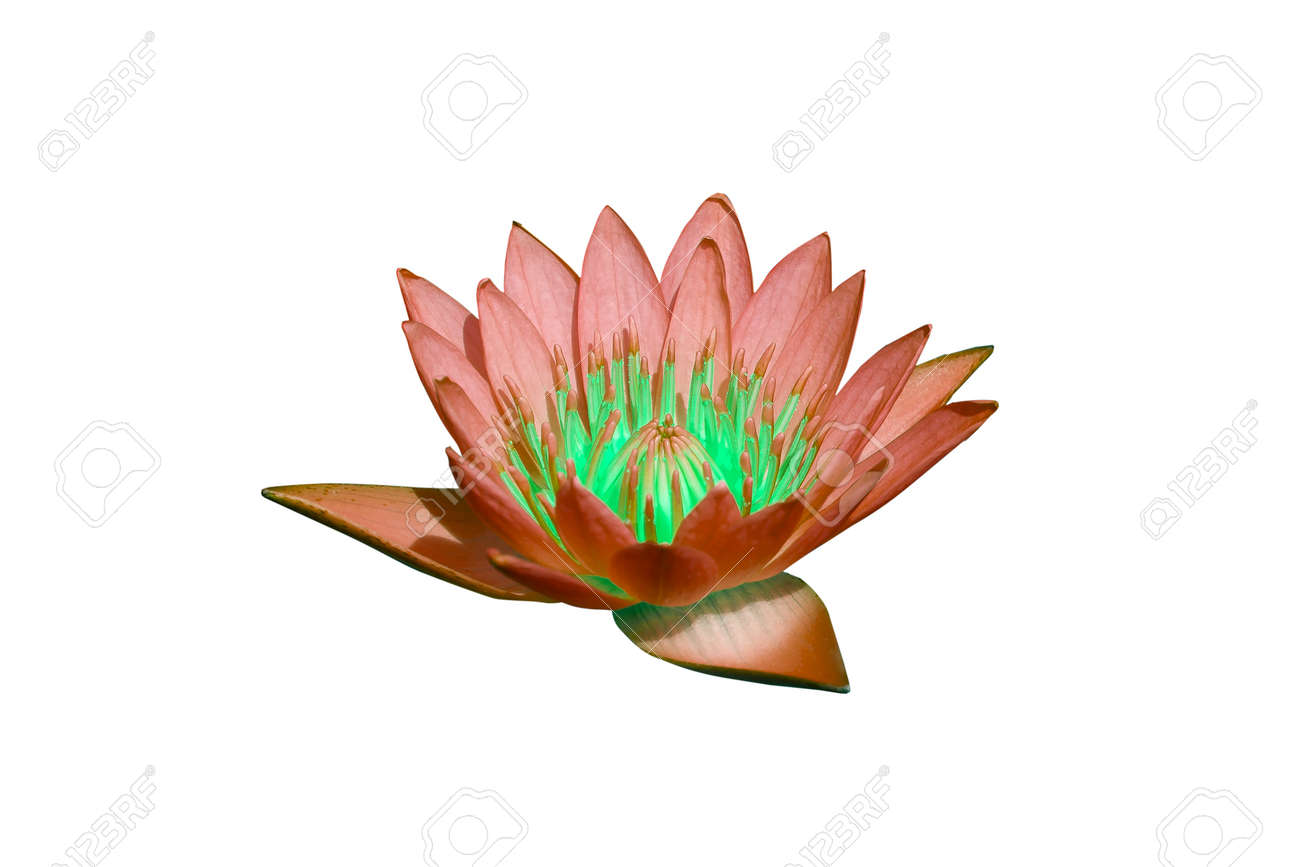 water lilly on water background with leaves and it s bud Stock Photo - 16232120