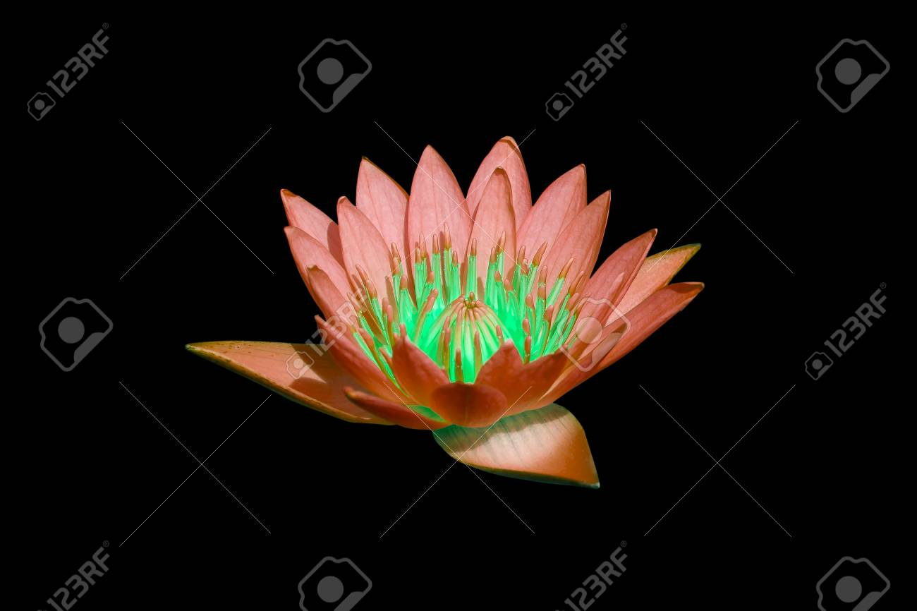 water lilly on water background with leaves and it s bud Stock Photo - 16232119
