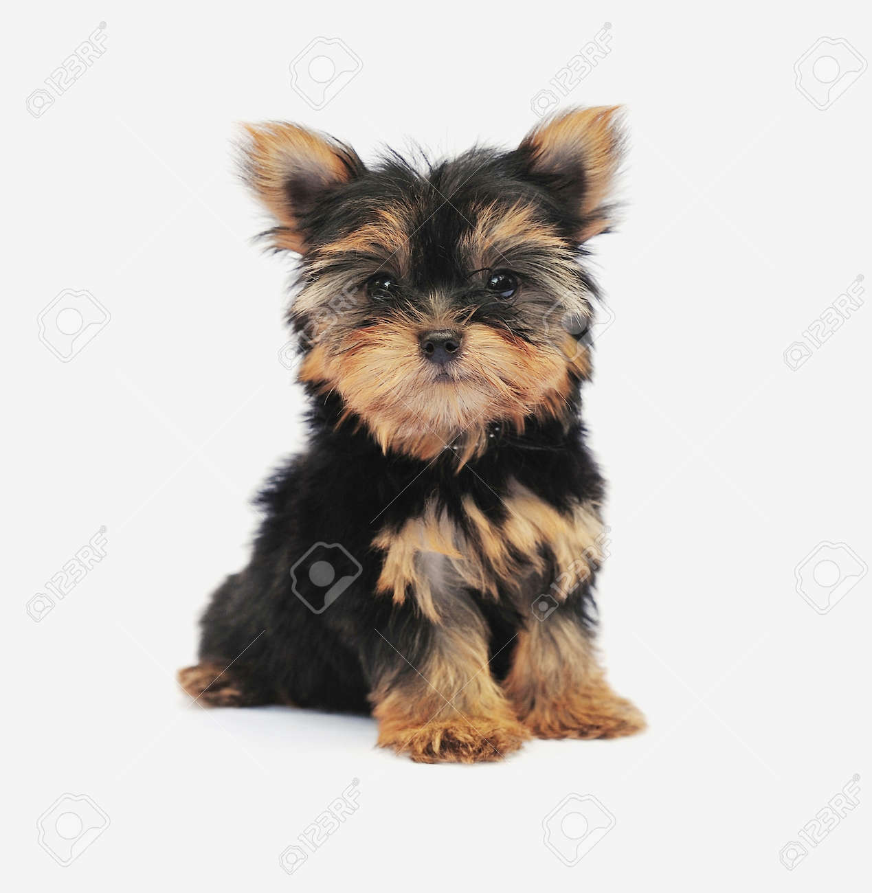Yorkshire Terrier  2 m...