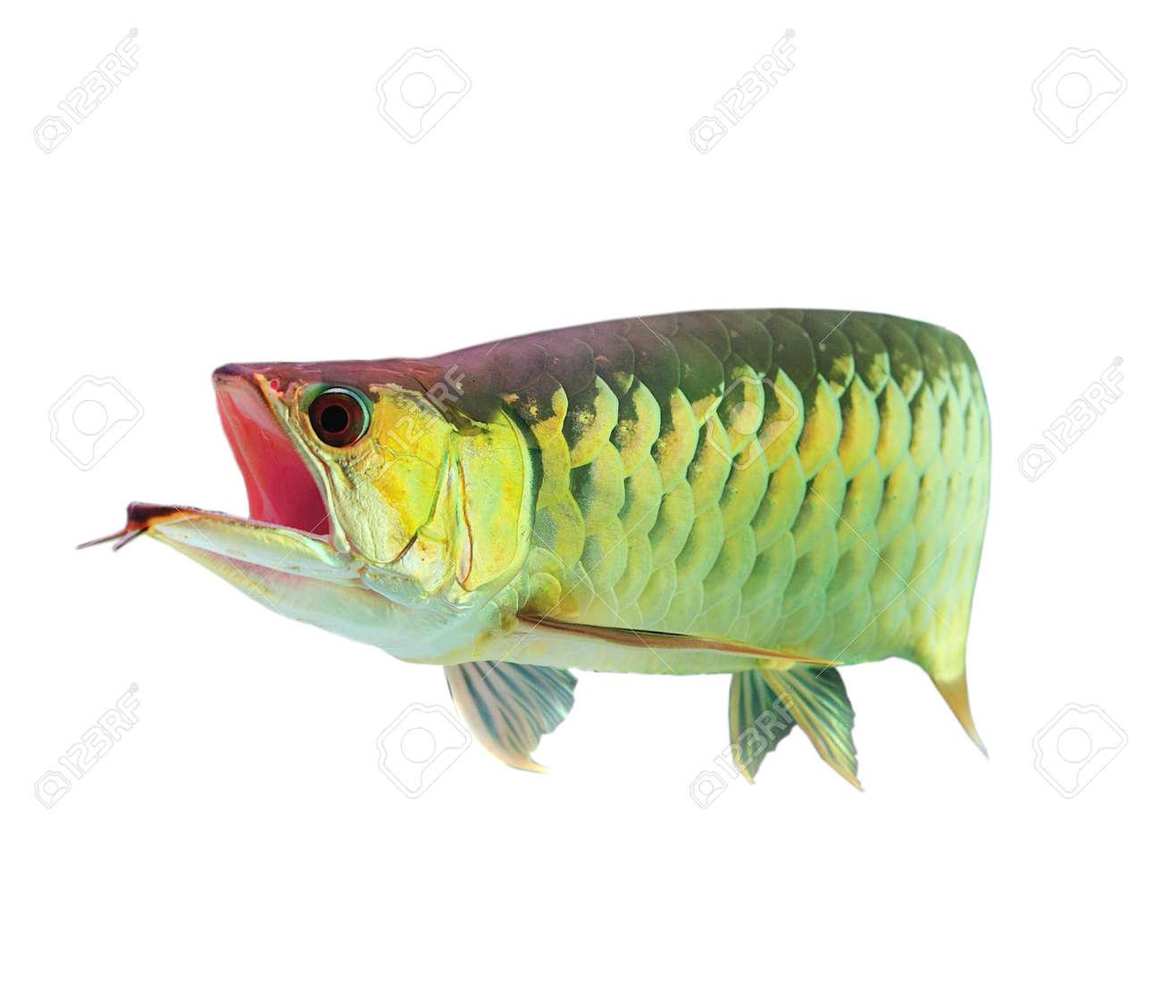 Asian Arowana fish on white background. Stock Photo - 10968419