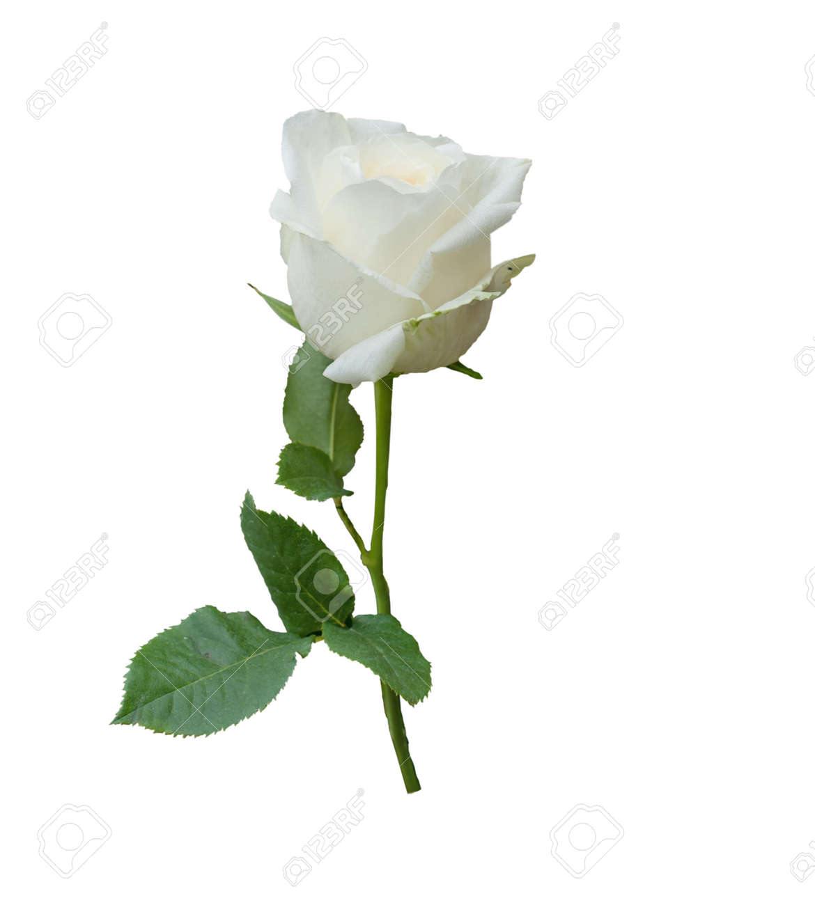 White Rose News Photos Wvphotos