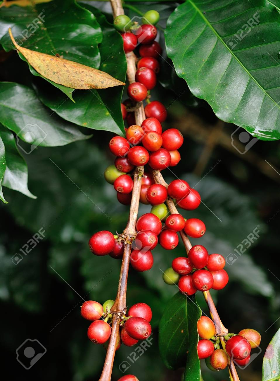 coffee beans on coffee tree Stock Photo - 17439914