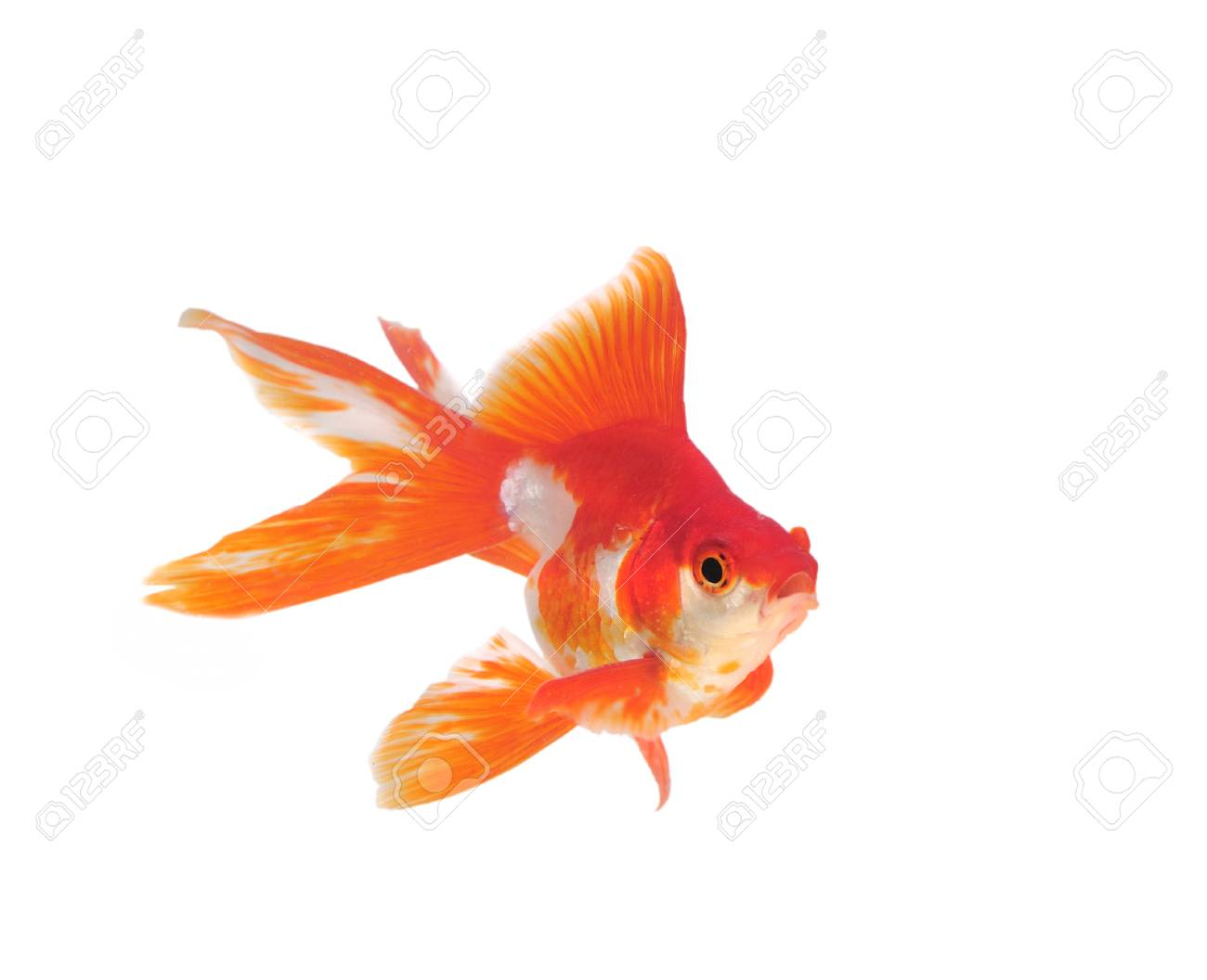 Gold fish isolated on a white background Stock Photo - 22936412