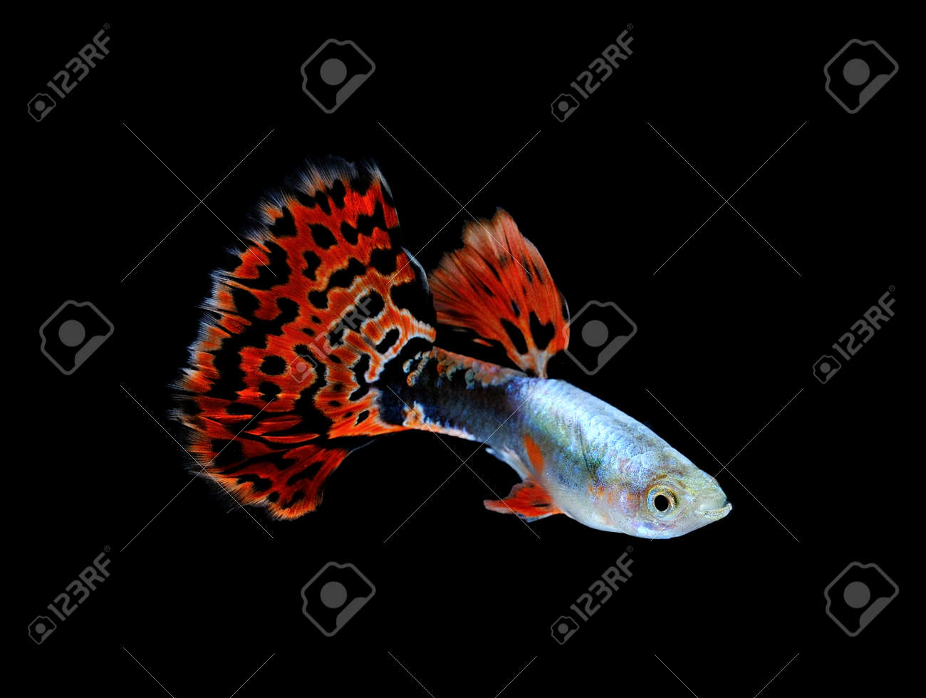 Guppy Fish Swimming Isolated On Black Stock Photo, Picture And ...