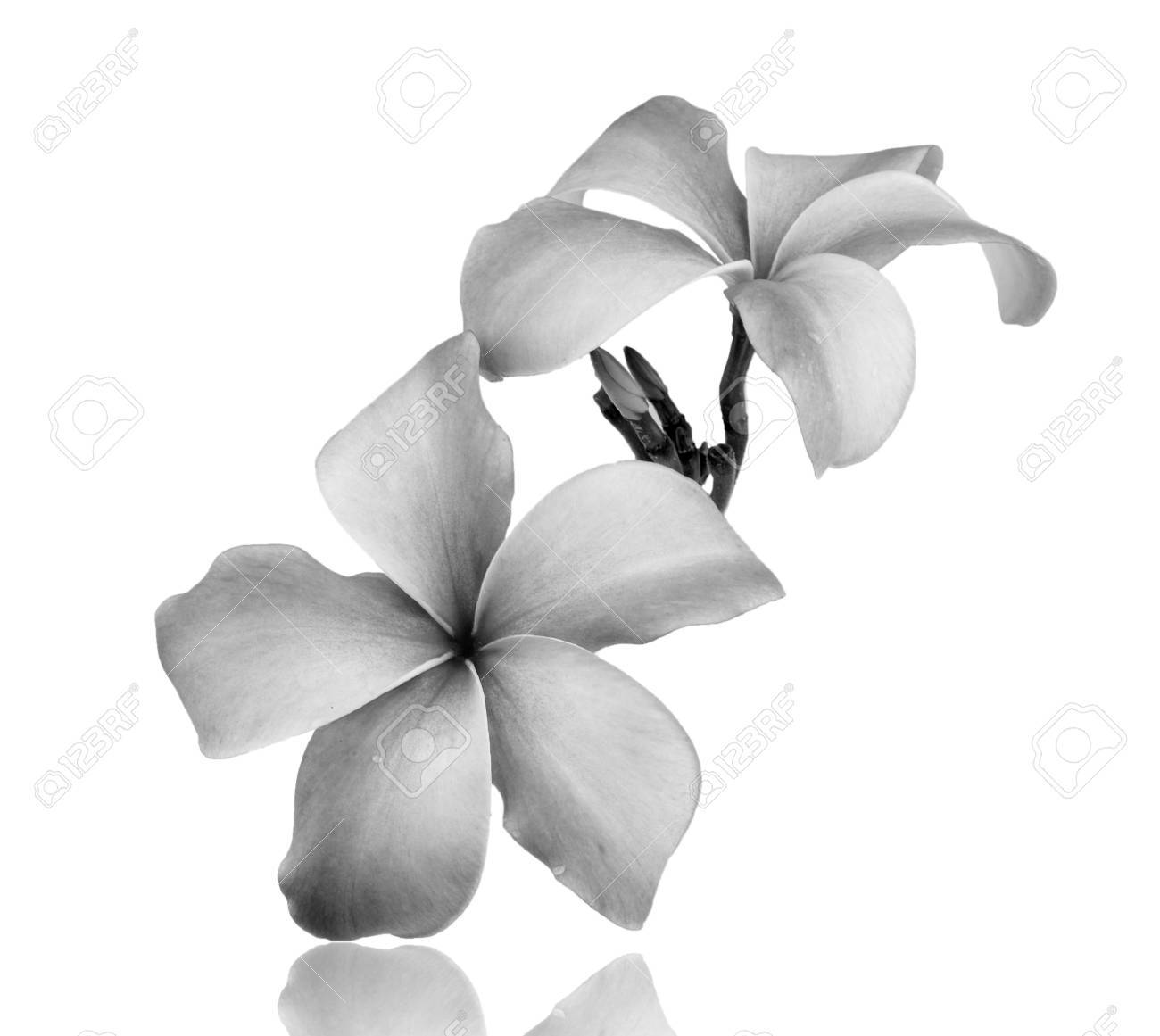 Frangipani flower black and white isolated on white background frangipani flower black and white isolated on white background stok fotoraf 30497834 mightylinksfo