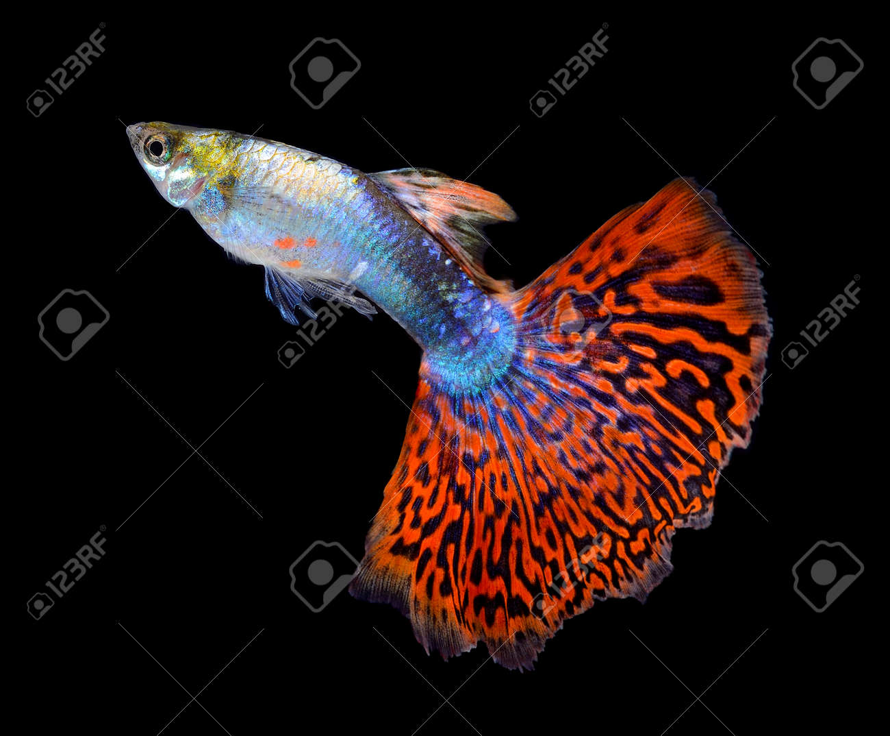 Beautiful Guppy Isolated On Black Background Stock Photo, Picture ...