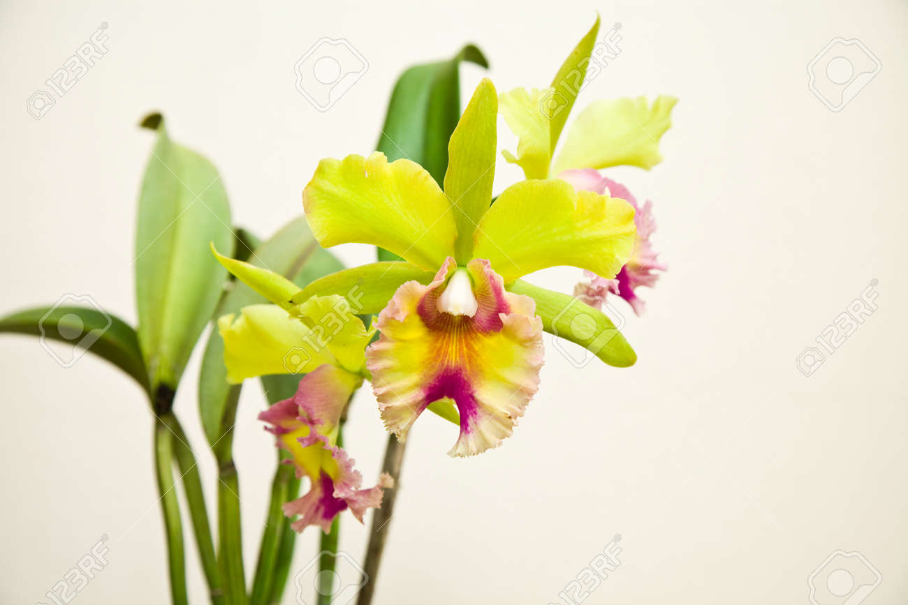 Yellow And Pink Orchid Yellow - pink orchid  cattleya