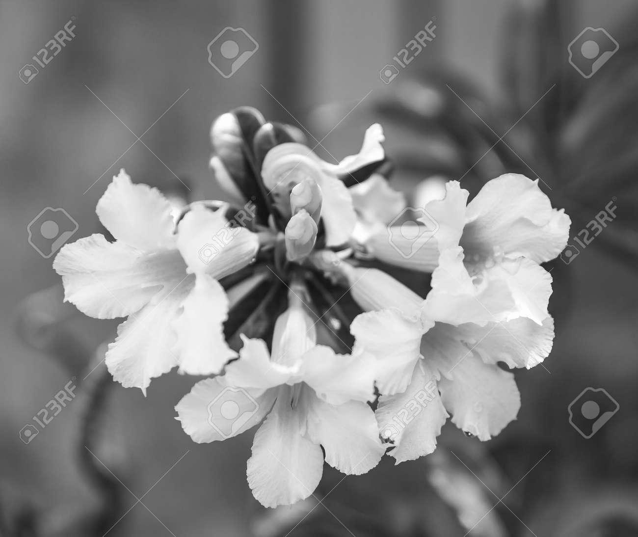 White Desert Rose Impala Lily Mock Azalea Flowers In Natural