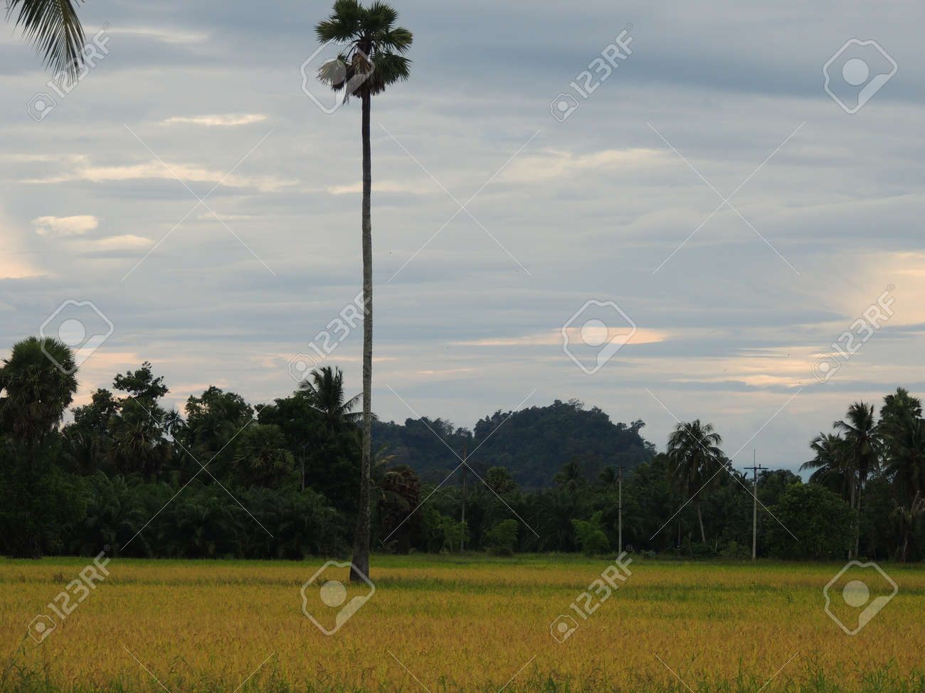 sugar palm tree Stock Photo - 15990916
