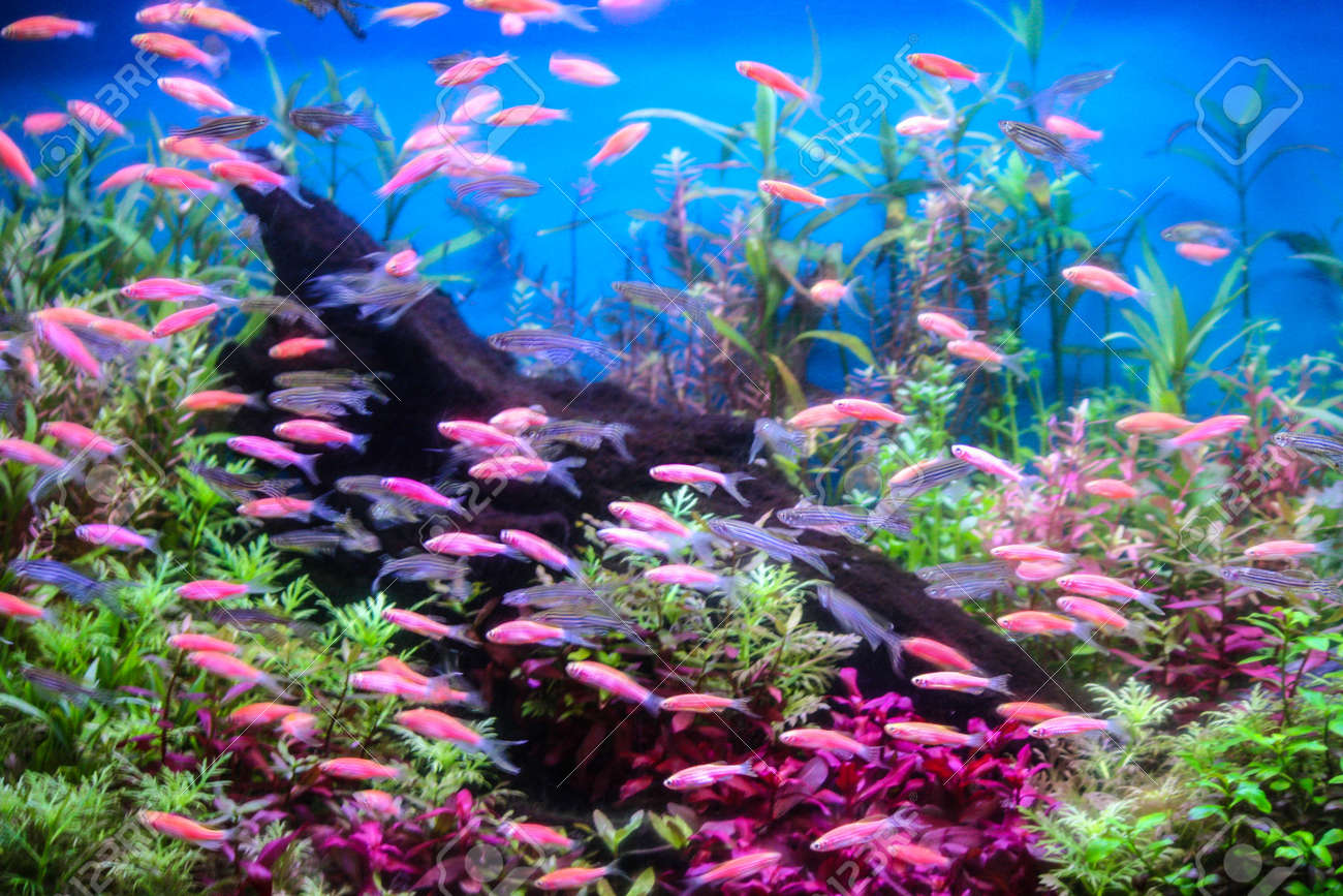 Freshwater jewel fish - Jewel Fish Shoal Of Fish Sea Goldie Pseudanthias Squamipinnis On The Red Sea