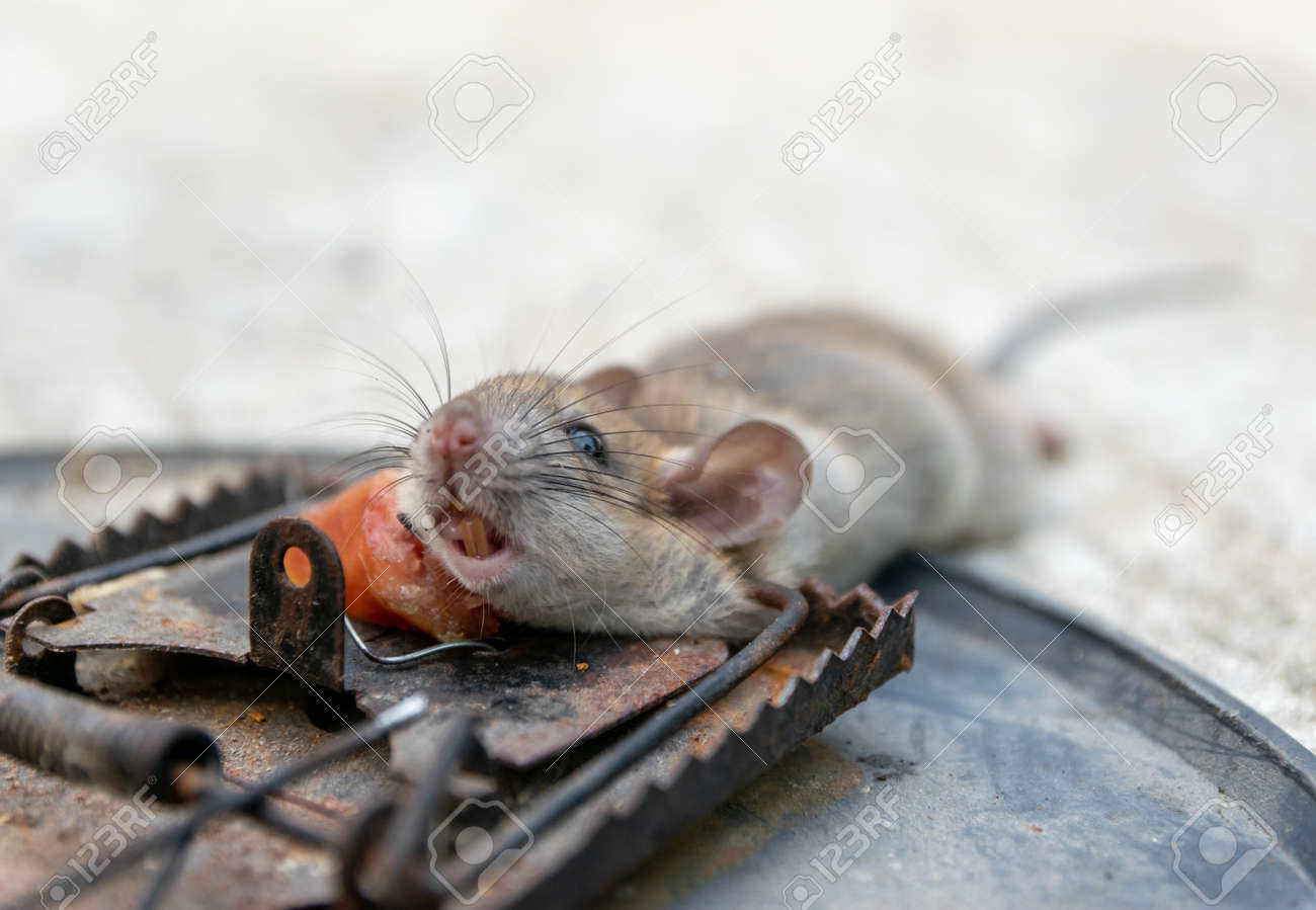 Disposal Dead Mouse Caught In Mousetrap In House Mice Control Stock Photo,  Picture And Royalty Free Image. Image 118127006.