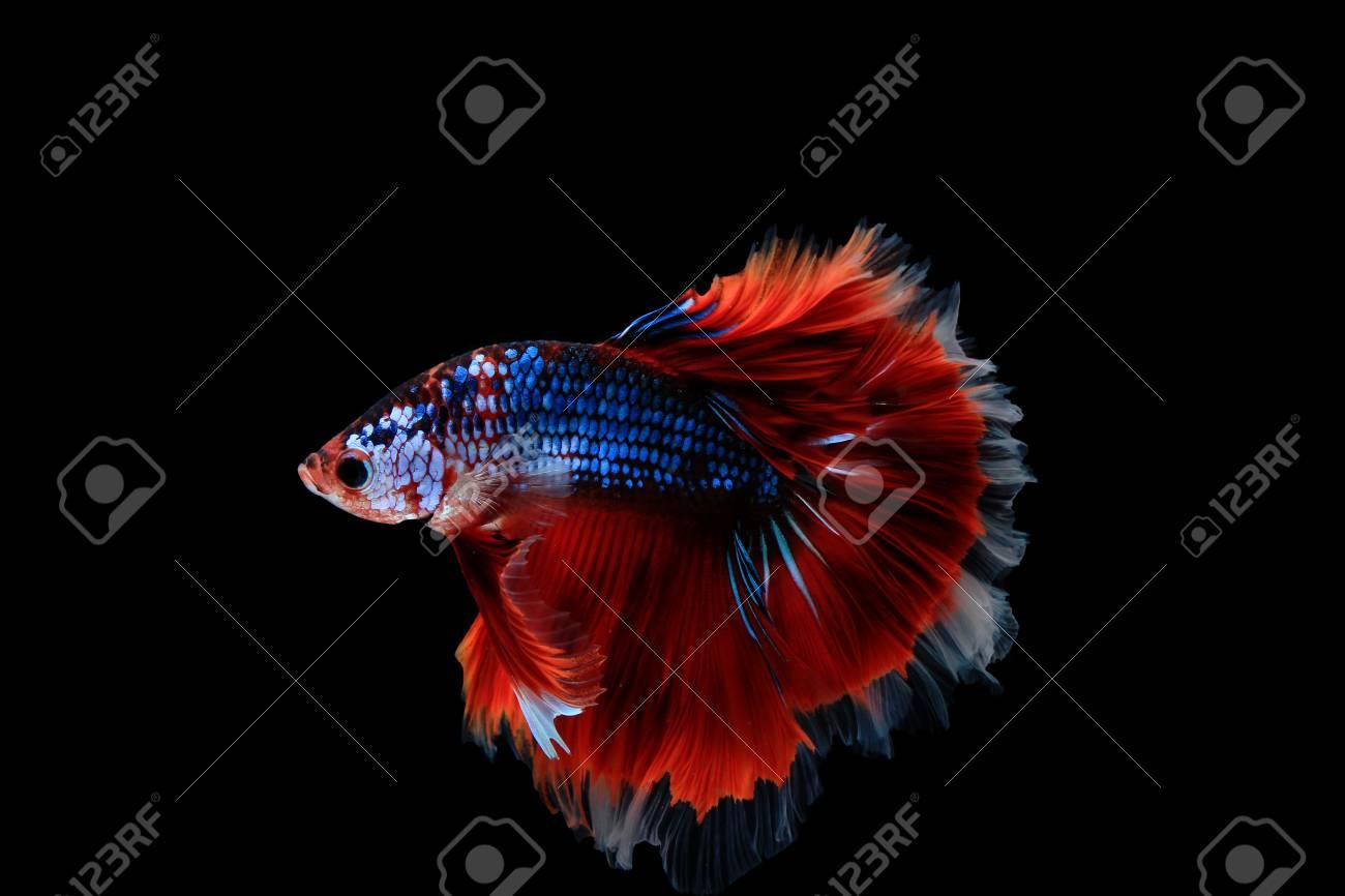 Fancy Halfmoon Betta Fish On Black Background Stock Photo, Picture ...