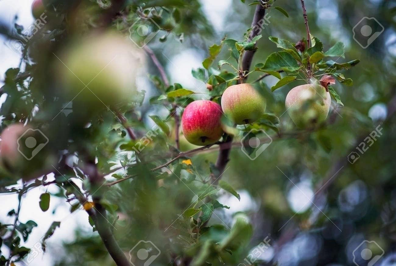 Jardin Apres La Pluie Pomme Pommes Prunes Tomates Raisins