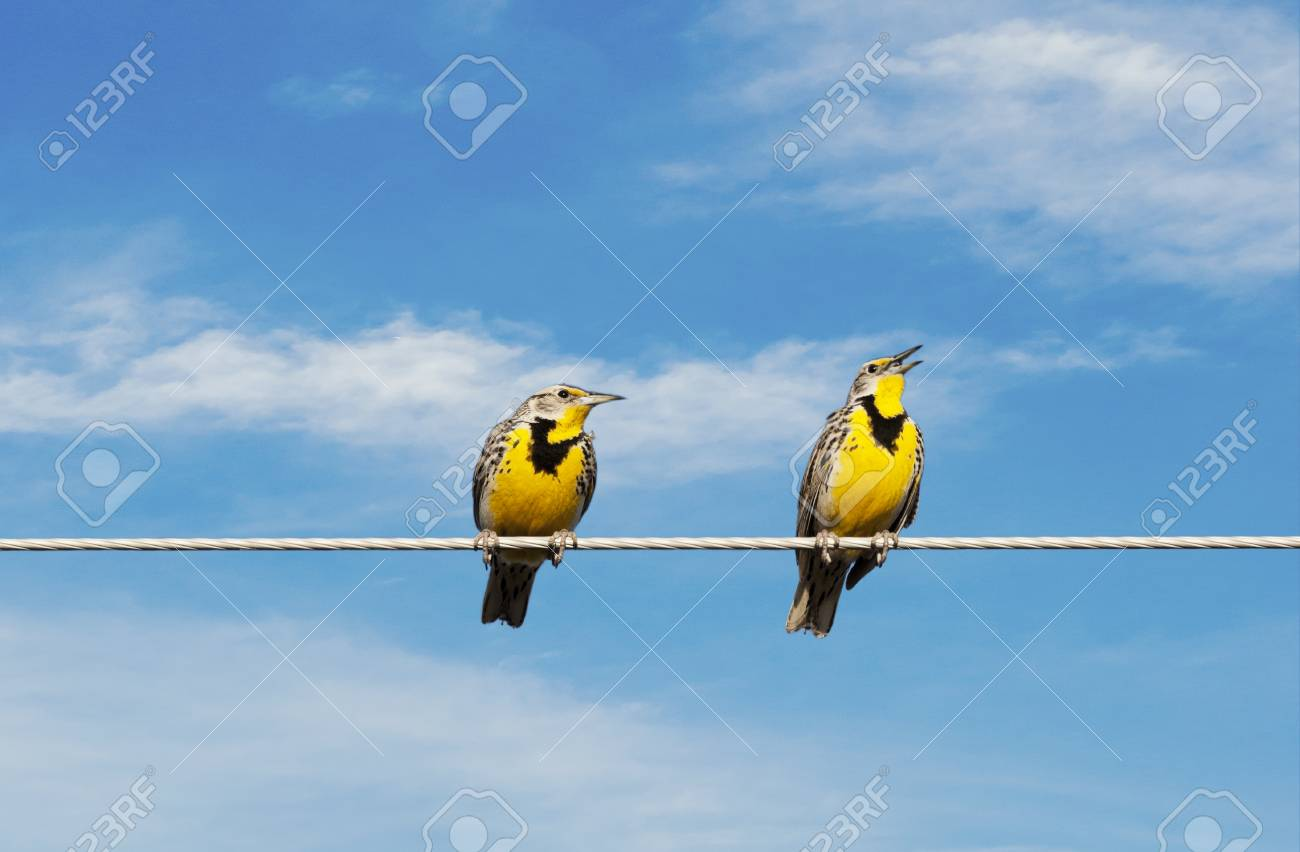 Two Meadowlarks On A Wire. One Is Singing While The Other Looks ...