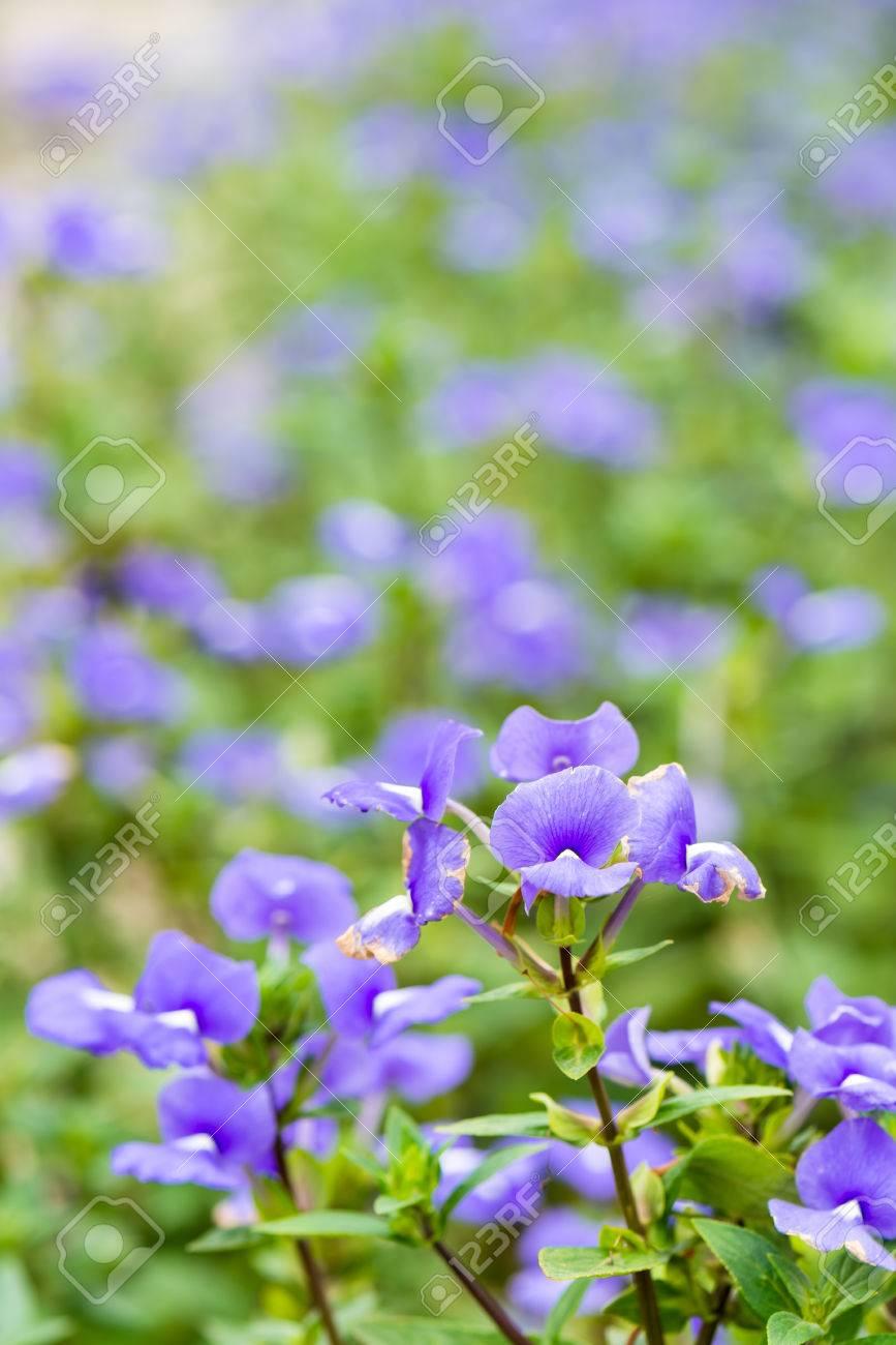 Otacanthus Caeruleus Le Nom De Fleur Blanche Pourpre La Thailande