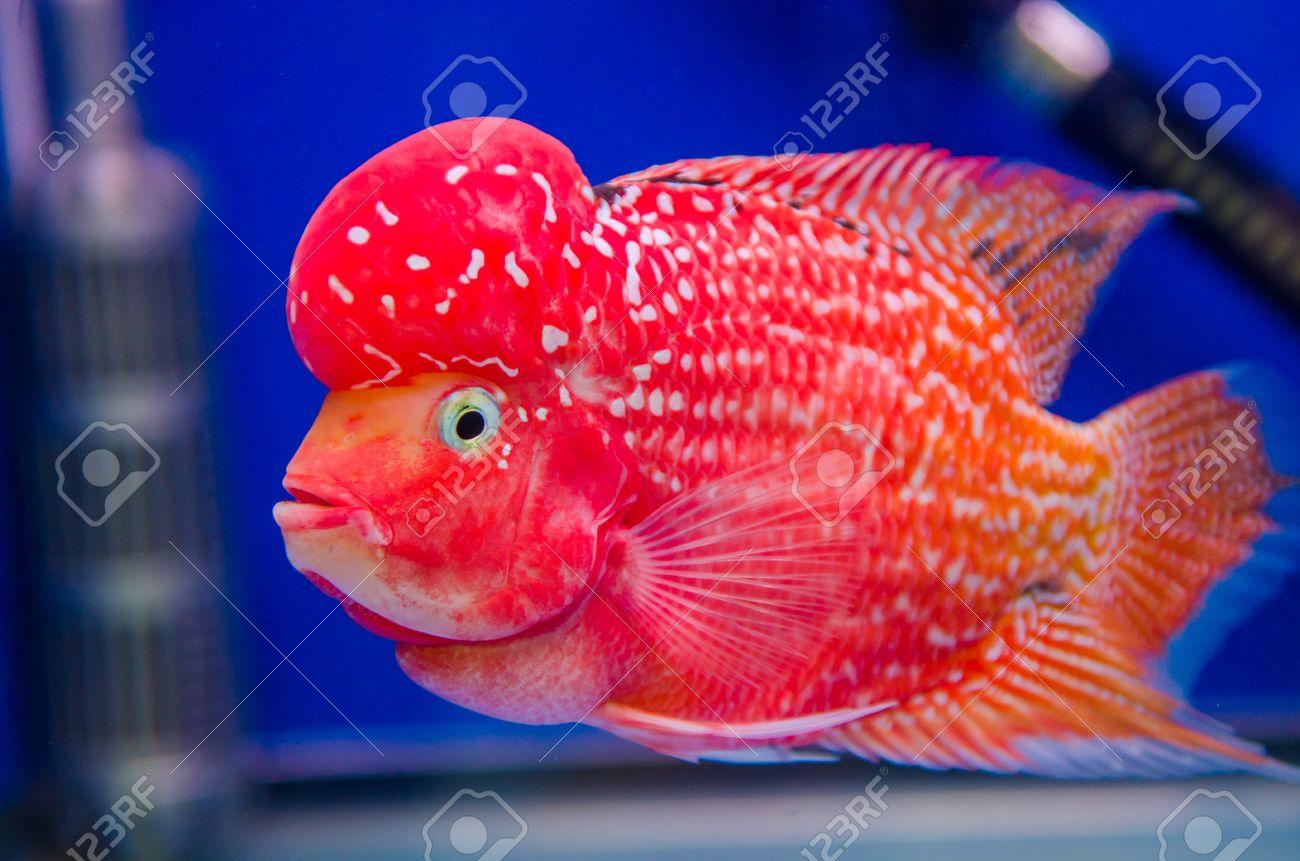 flowerhorn cichlid pictures >> flowerhorn cichlid breeding tank