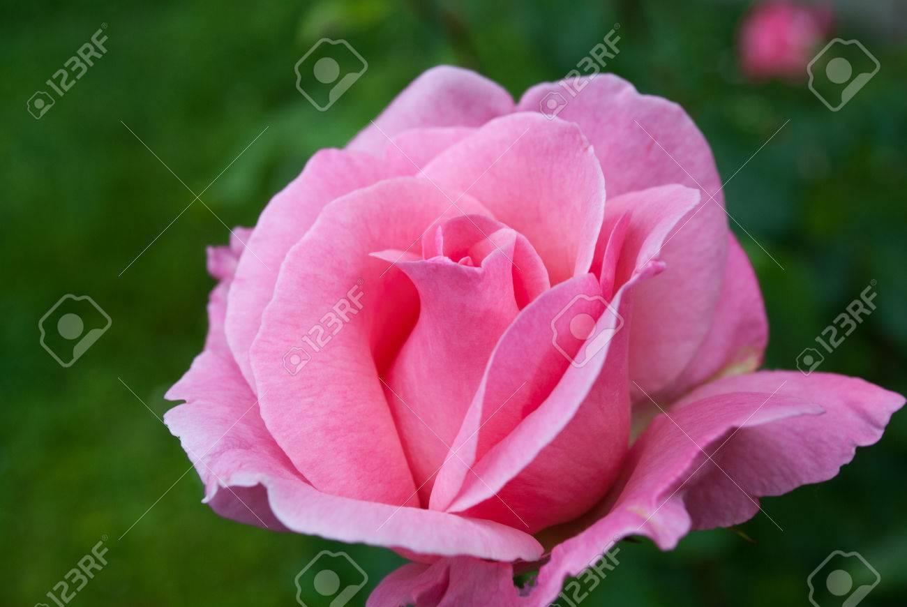 Les Petales De La Rose La Fleur De L Amour Dans Une Verte Prairie