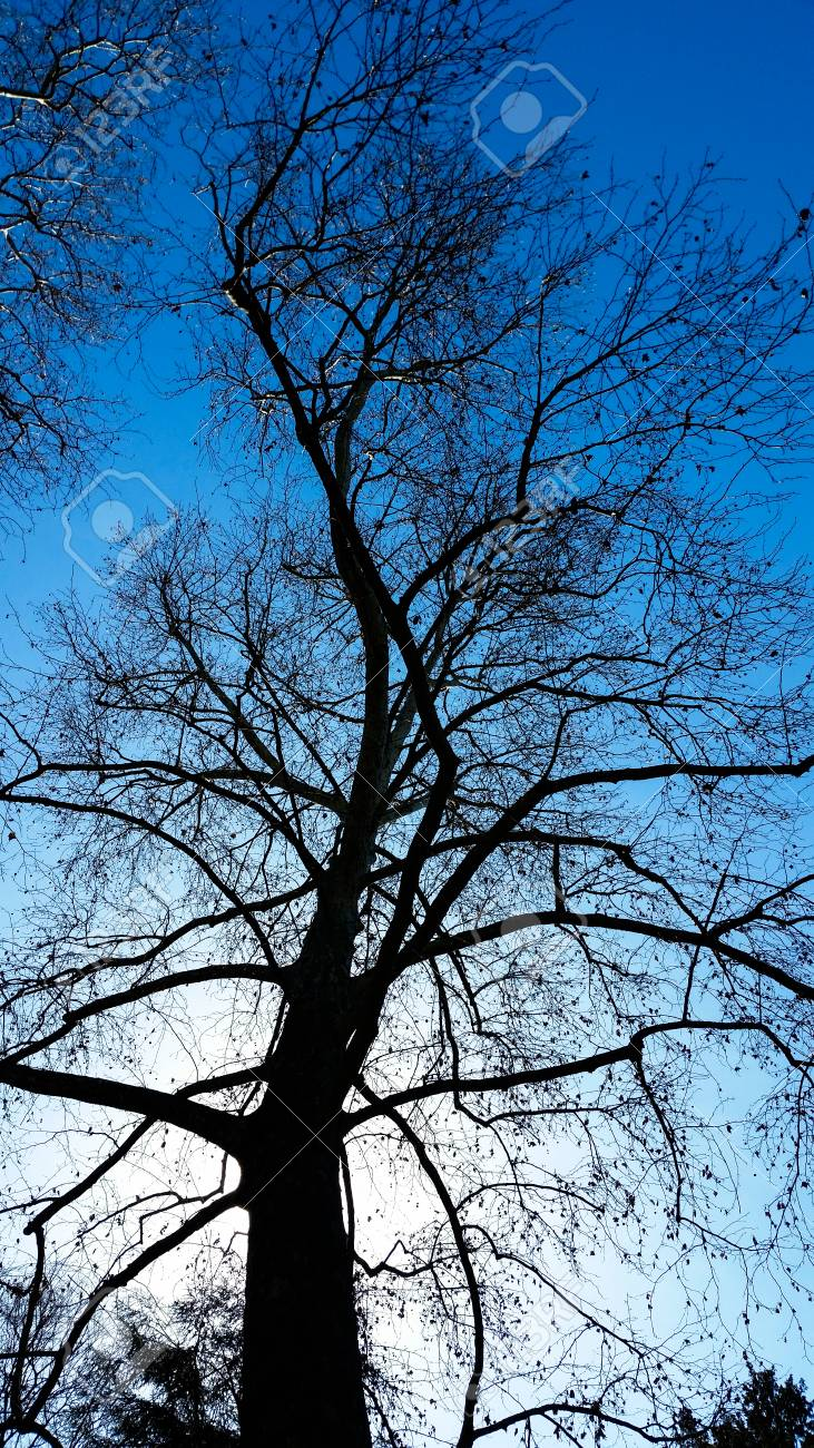 Bare trees in winter with blue sky - 92814753