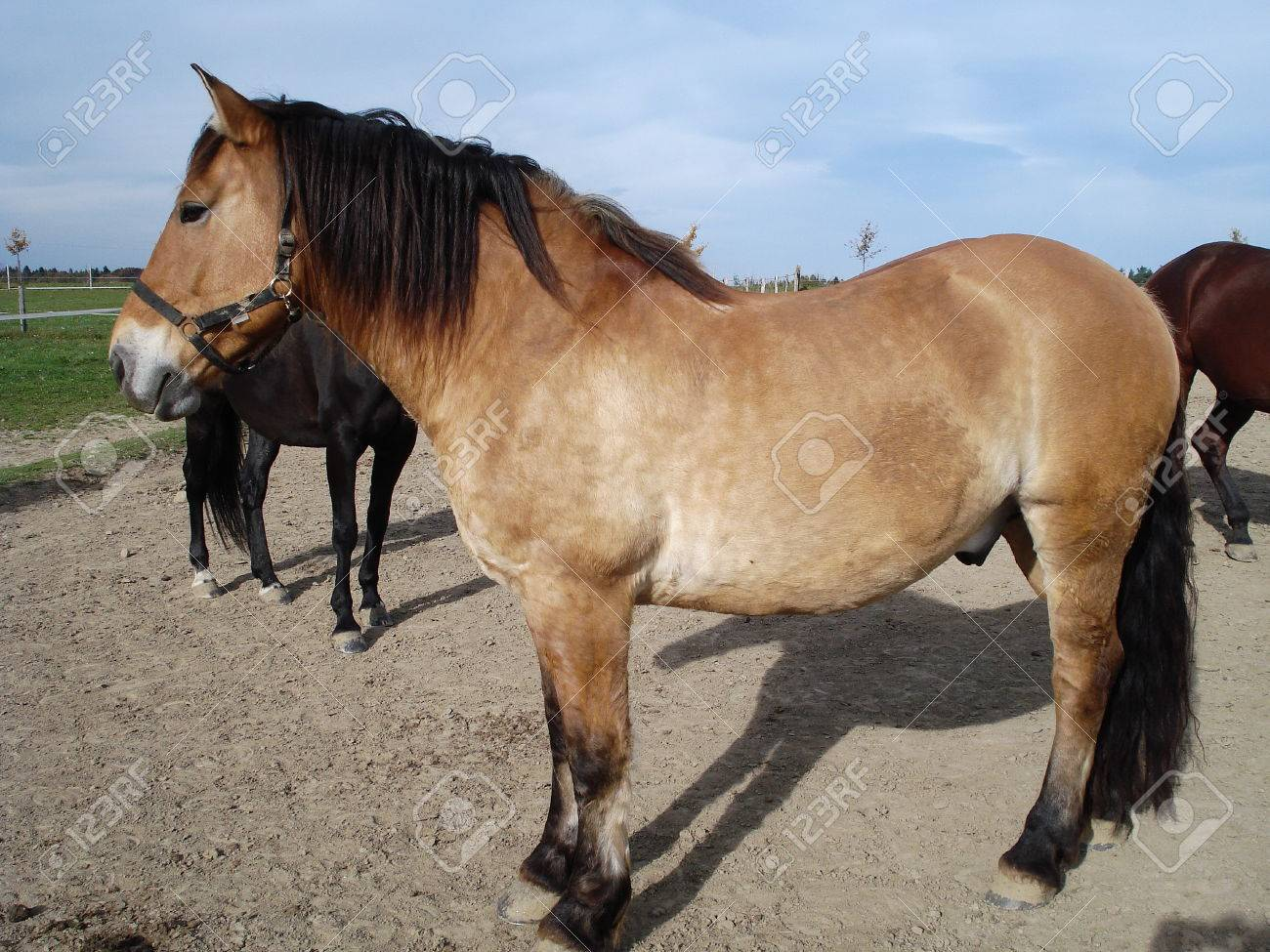 Beige Buckskin Horse In The Meadow Stock Photo Picture And Royalty Free Image Image 33383259