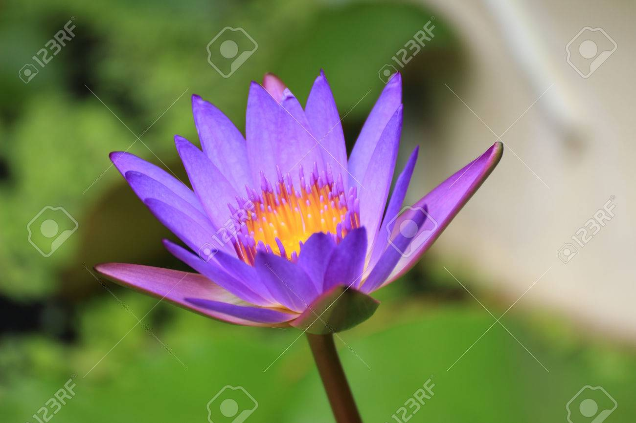 Lotus A Positive Symbol In Buddhism Stock Photo Picture And