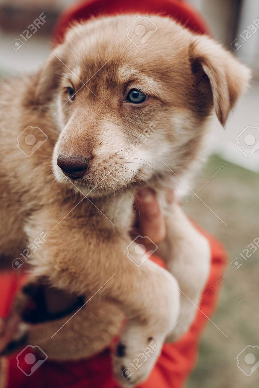 Good Golden Retriever Blue Eye Adorable Dog - 75745984-adorable-brown-puppy-with-amazing-blue-eyes-in-woman-hands-on-background-of-autumn-park-space-for-te  Graphic_192793  .jpg