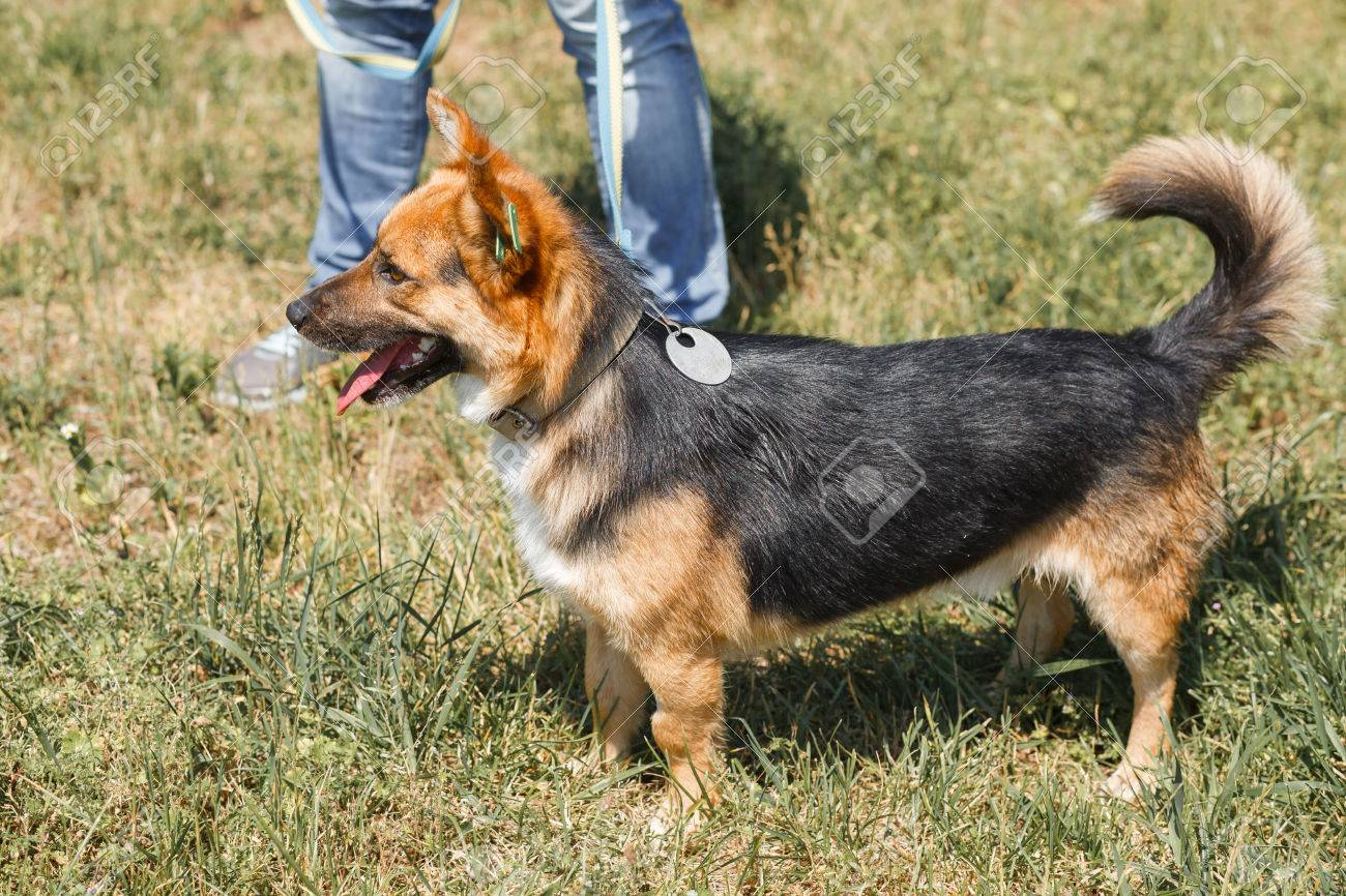Cute German Shepherd Puppy Smiling Outdoors While On A Walk In Stock Photo Picture And Royalty Free Image Image 81409704