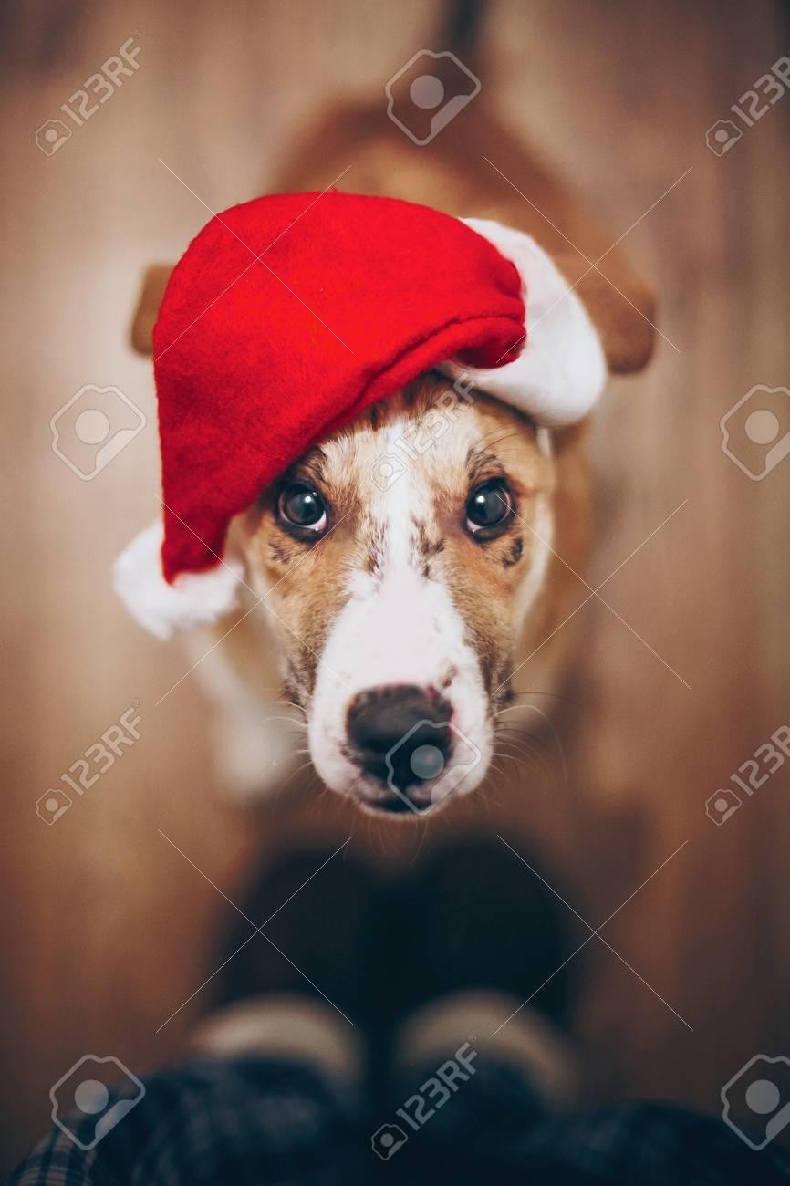 Hund Im Sankt-Hut, Der Oben Eigentümer Betrachtet. Frohe Weihnachten ...