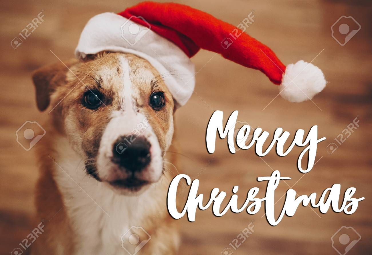 merry christmas text seasonal greetings card sign dog in santa stock photo picture and royalty free image image 90155155 merry christmas text seasonal greetings card sign dog in santa