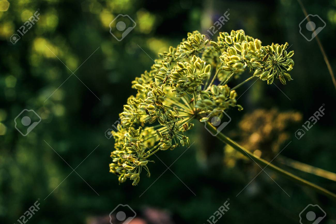 beautiful flower plant in grassland in sunshine, summer nature meadow - 99111941