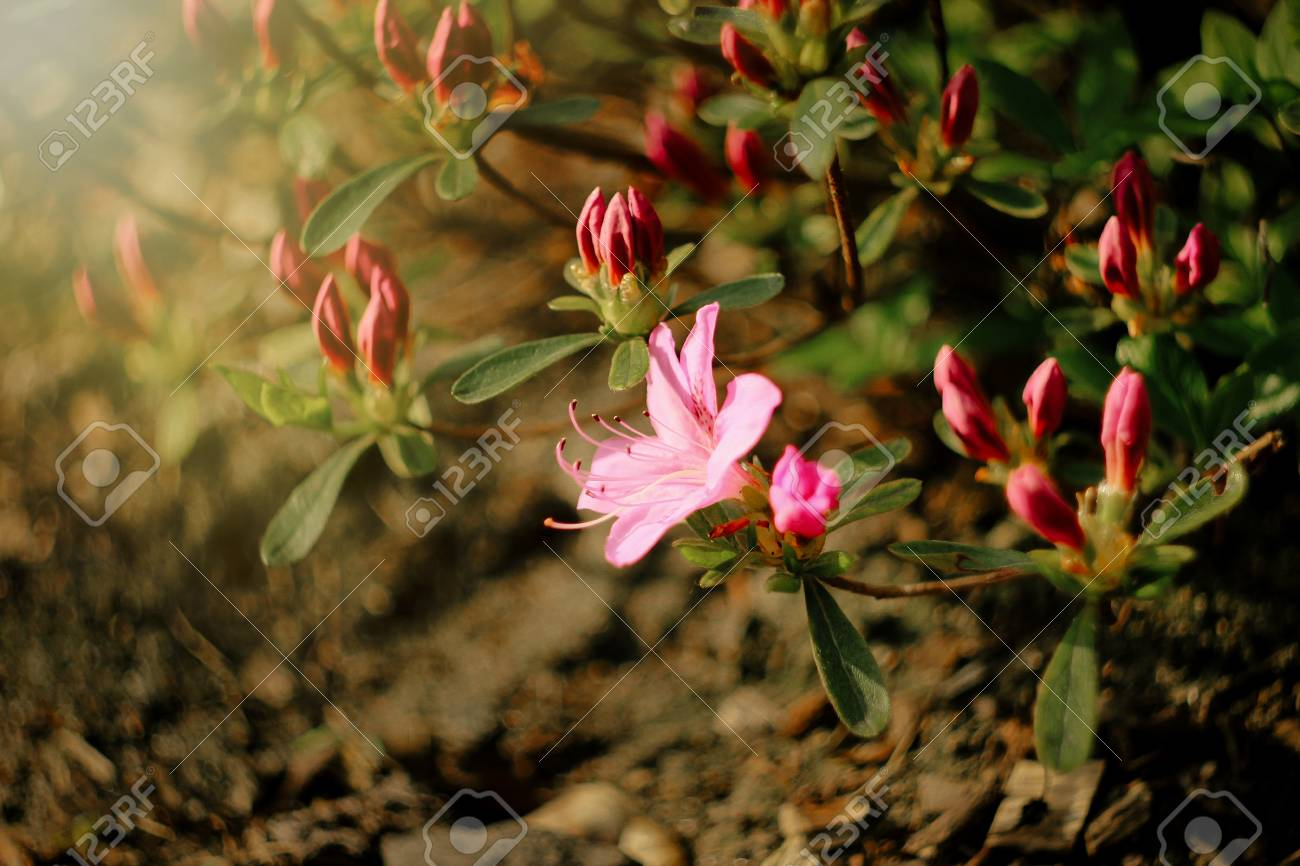 Beautiful Pink Azalea Flowers In Sunny Botanical Gardens Stock Photo ...