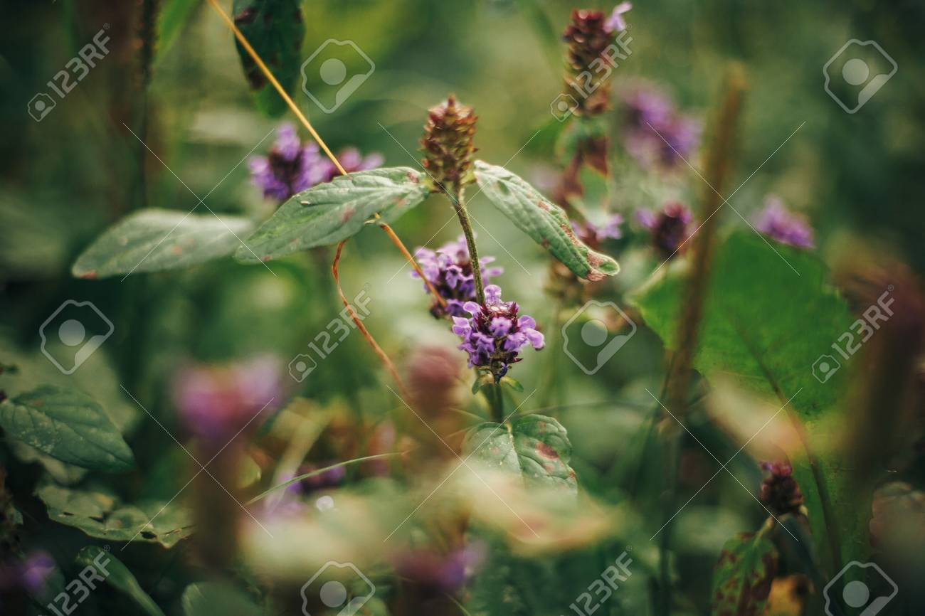 Beautiful Purple Flowers And Leaves Close Up In Woods Pink Wildflowers Herbs