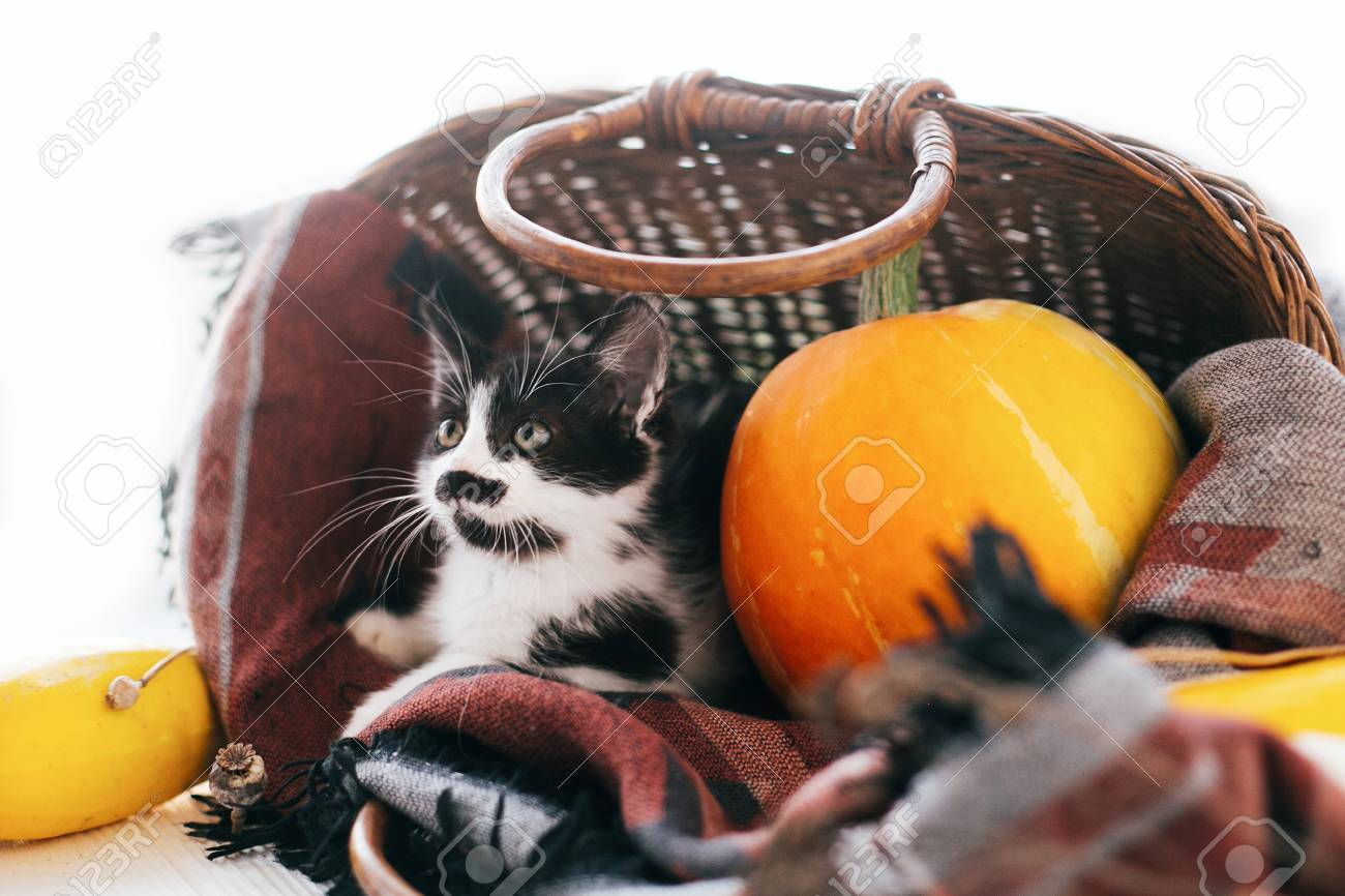 Happy Thanksgiving And Halloween Cute Kitty Sitting In Wicker Basket With Pumpkin Zucchini