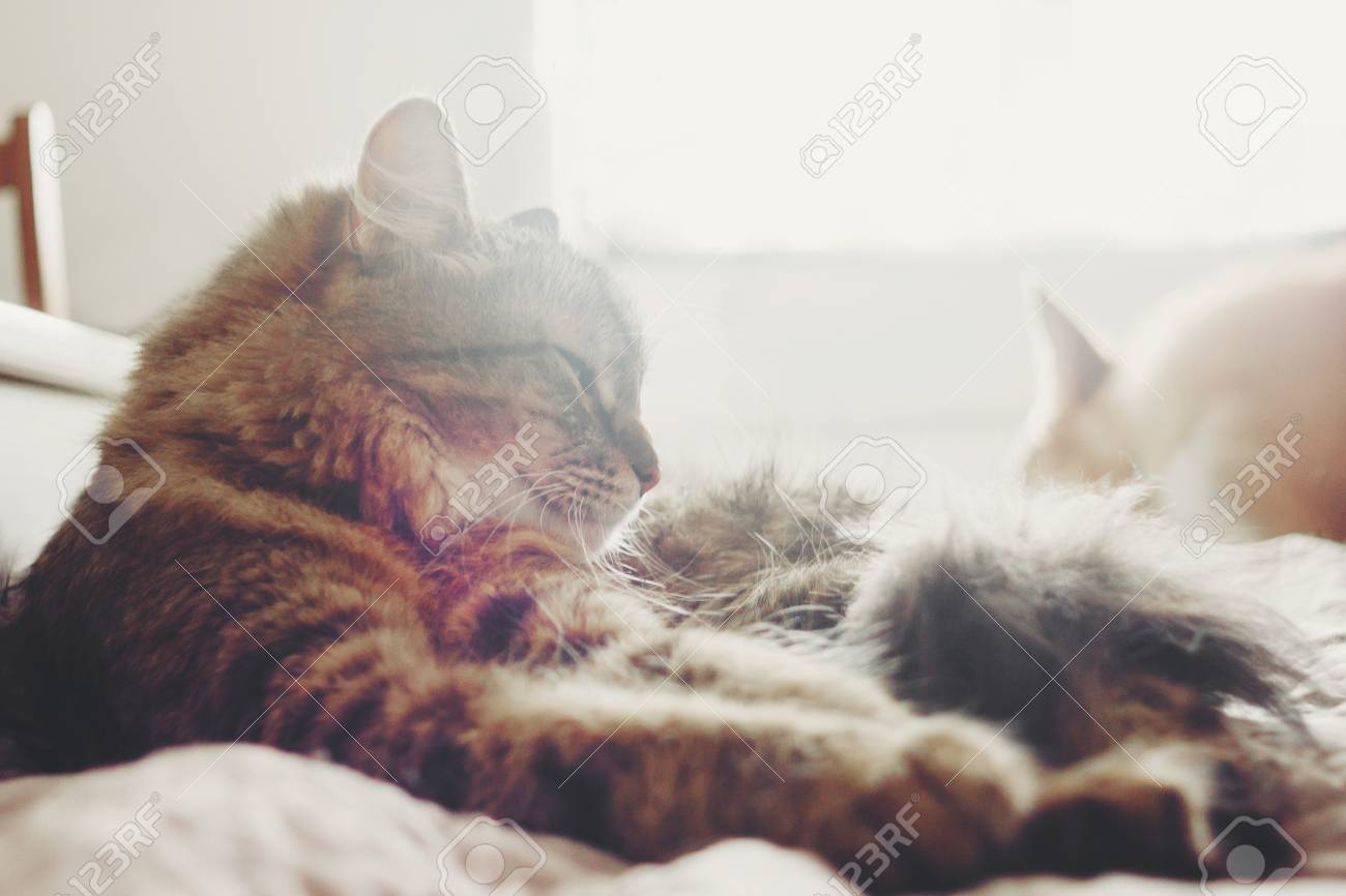 Beautiful tabby cat lying on bed and sleeping in soft morning light. Fluffy Maine coon with funny emotions resting in white stylish room. Cat portrait. Space for text - 109041028