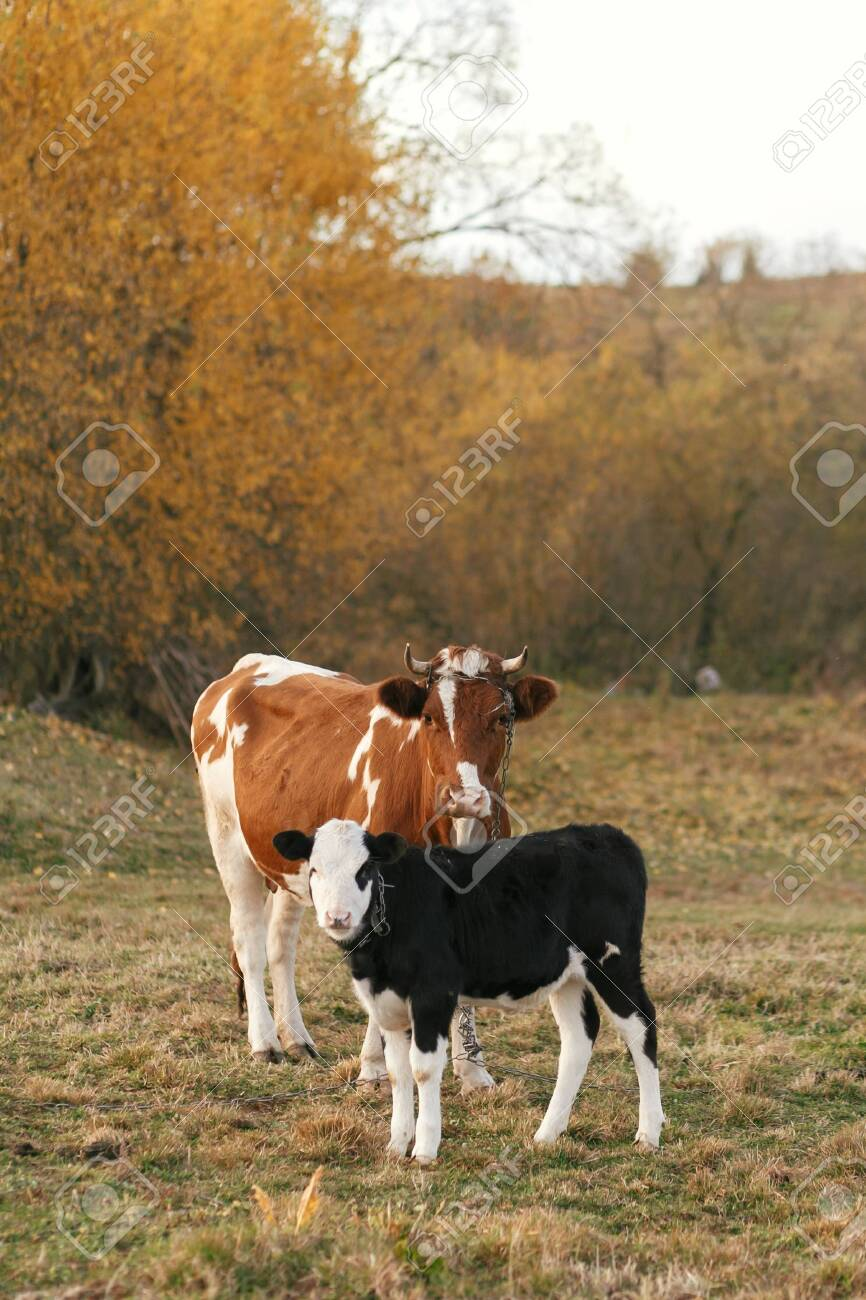 Beautiful Cute Black And White Calf Standing Near Brown Cow And Stock Photo Picture And Royalty Free Image Image 125629542