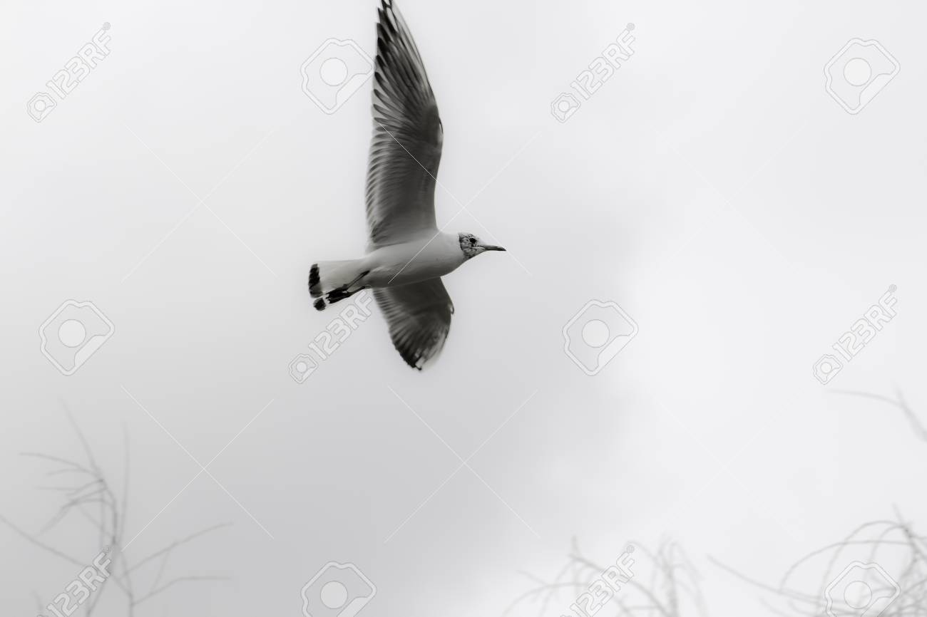 Minimalist Aesthetic Image Of A Juvenile Black Headed Gull Chroicocephalus Ridibundus Against