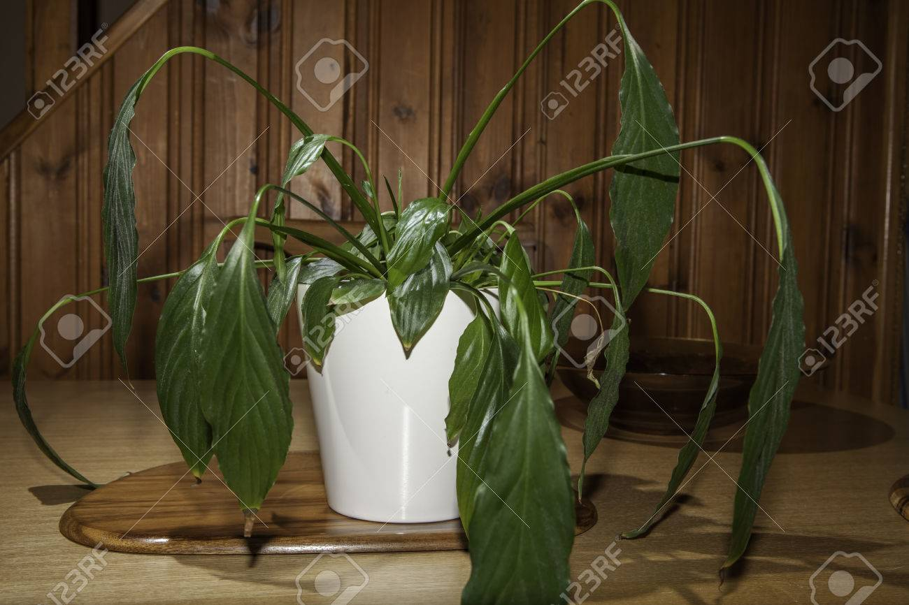 Dehydrated peace lily spathiphyllum house plant with drooping dehydrated peace lily spathiphyllum house plant with drooping flaccid leaves wilting and in reviewsmspy