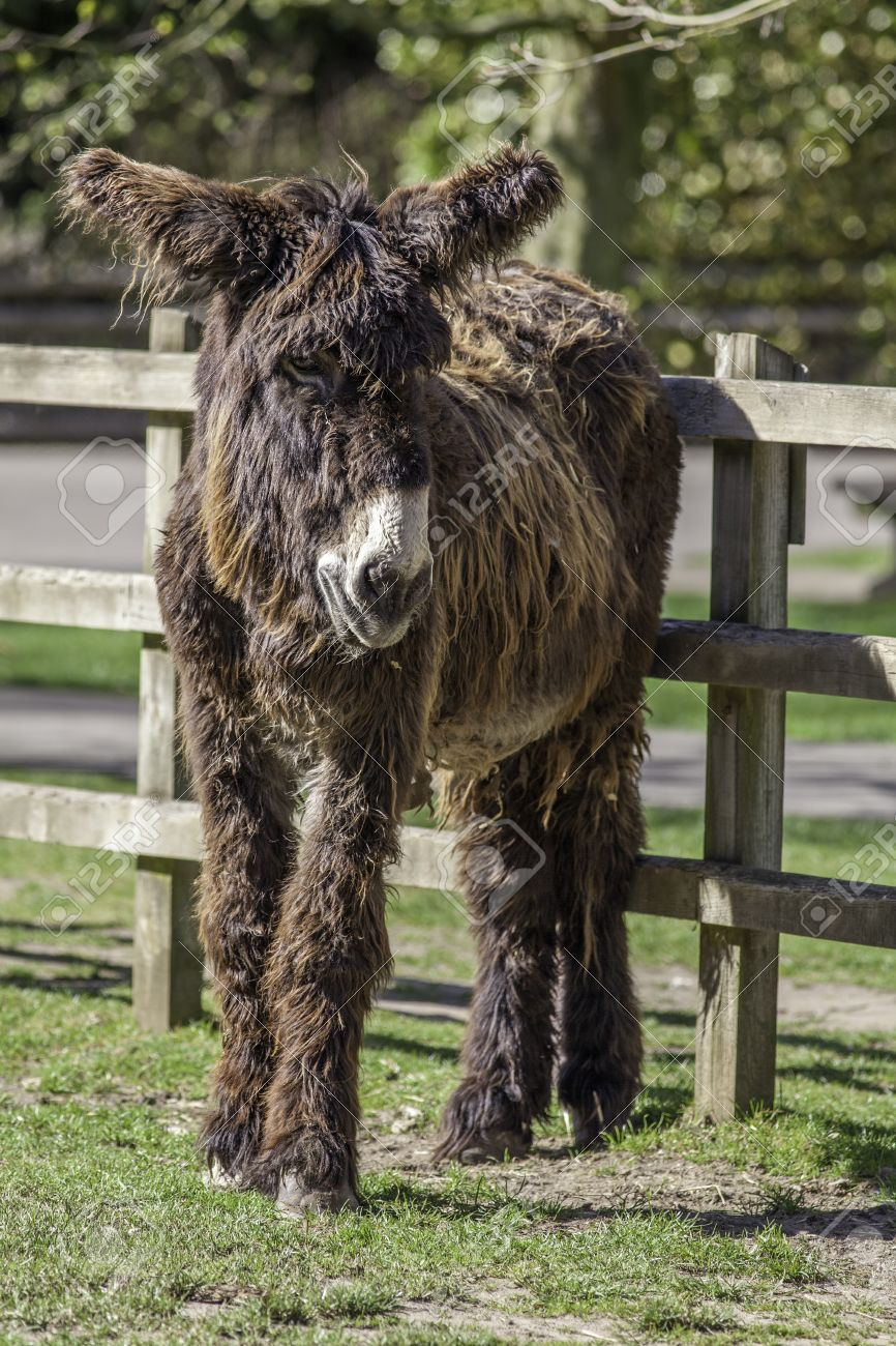 hairy ass. poitou long haired donkey. cute animal with long hair