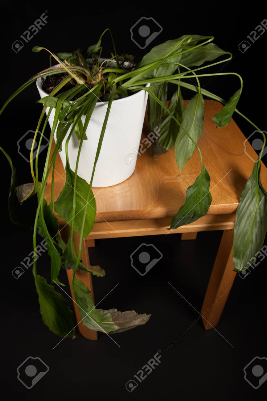 Dehydrated indoor pot-plant  Wilting Peace Lilly house plant