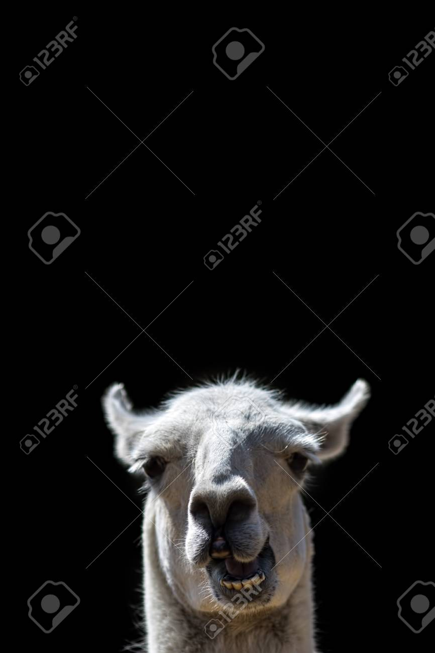 Dumb Animal  Goofy confused looking Llama head popping up with