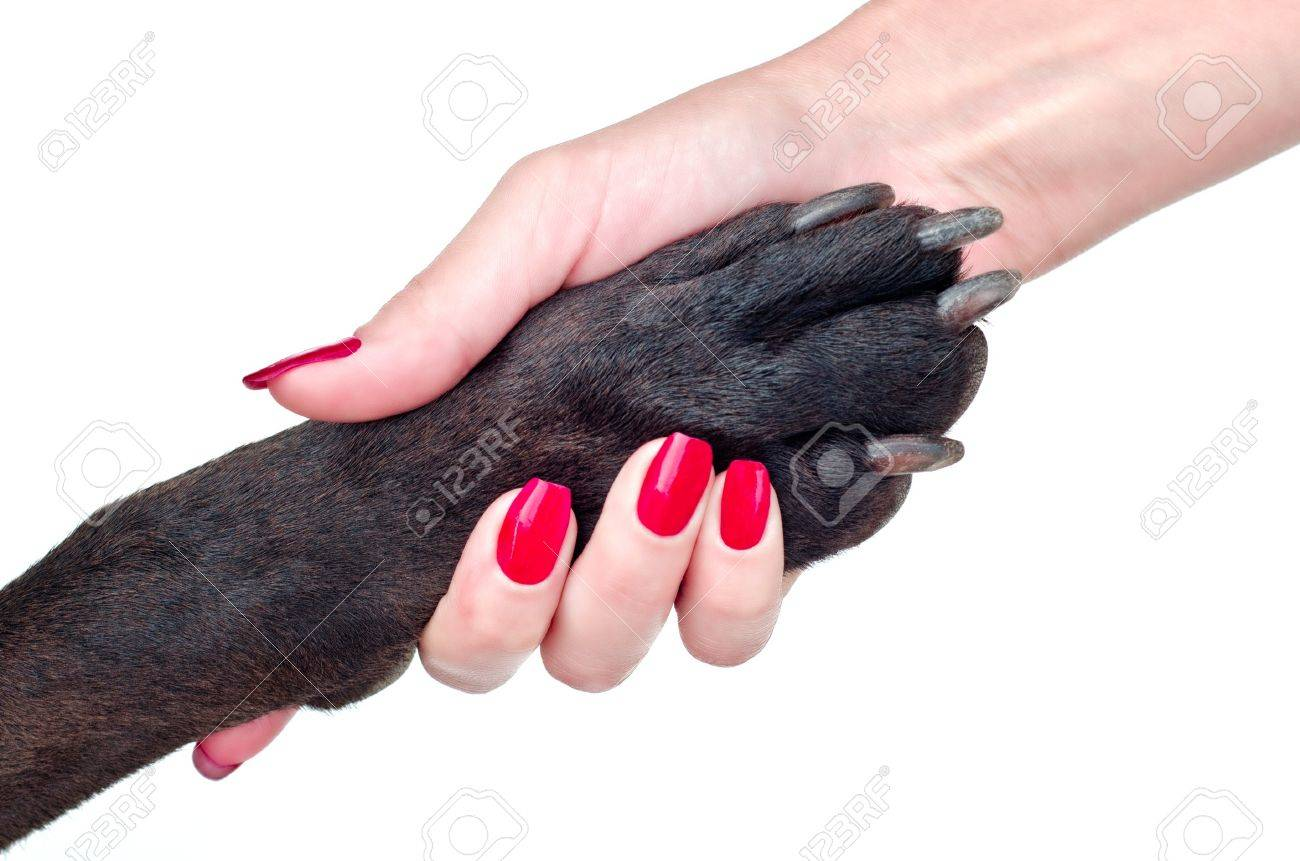 Friendly handshake of dog and girl on a white background Stock Photo - 14479684