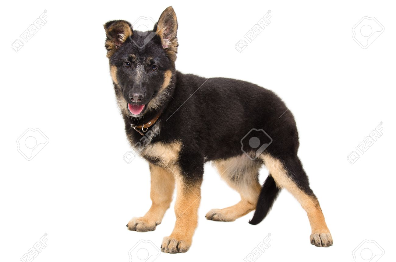 Portrait Of A Cute Puppy German Shepherd Standing In Full Length Stock Photo Picture And Royalty Free Image Image 41562462