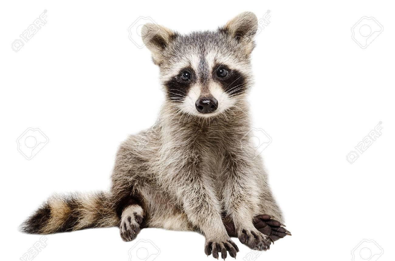 baby raccoon stock photos u0026 pictures royalty free baby raccoon