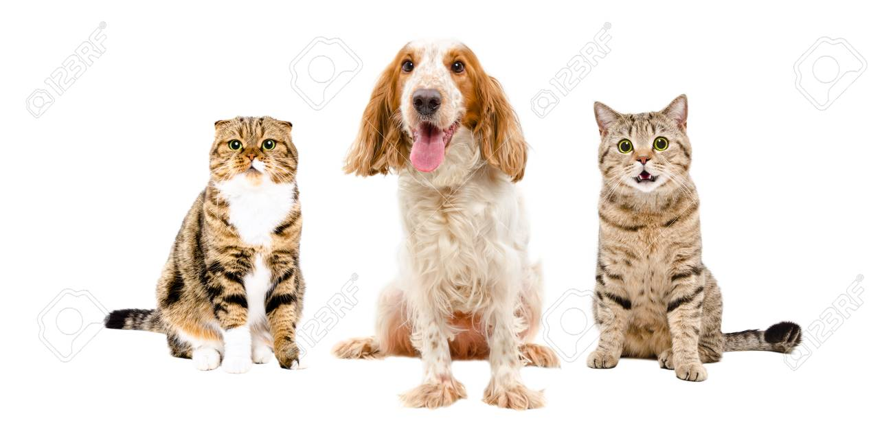 Russian Spaniel and two cats sitting together, isolated on white..