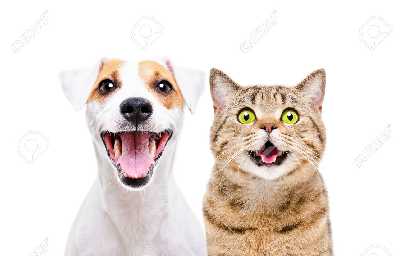 Portrait of a cute dog Russell Terrier and a cheerful cat Scottish Straight - 122857374
